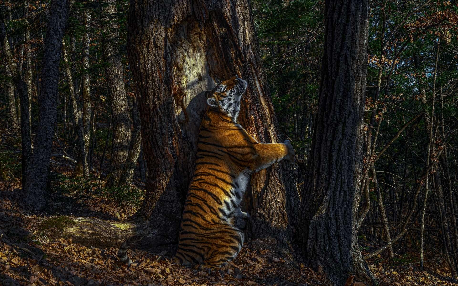 Cette photo émouvante d'un tigre de Sibérie en pleine communion avec son environnement parviendra-t-elle à éveiller les consciences? © Sergey Gorshkov, Wildlife Photographer of the Year 2020