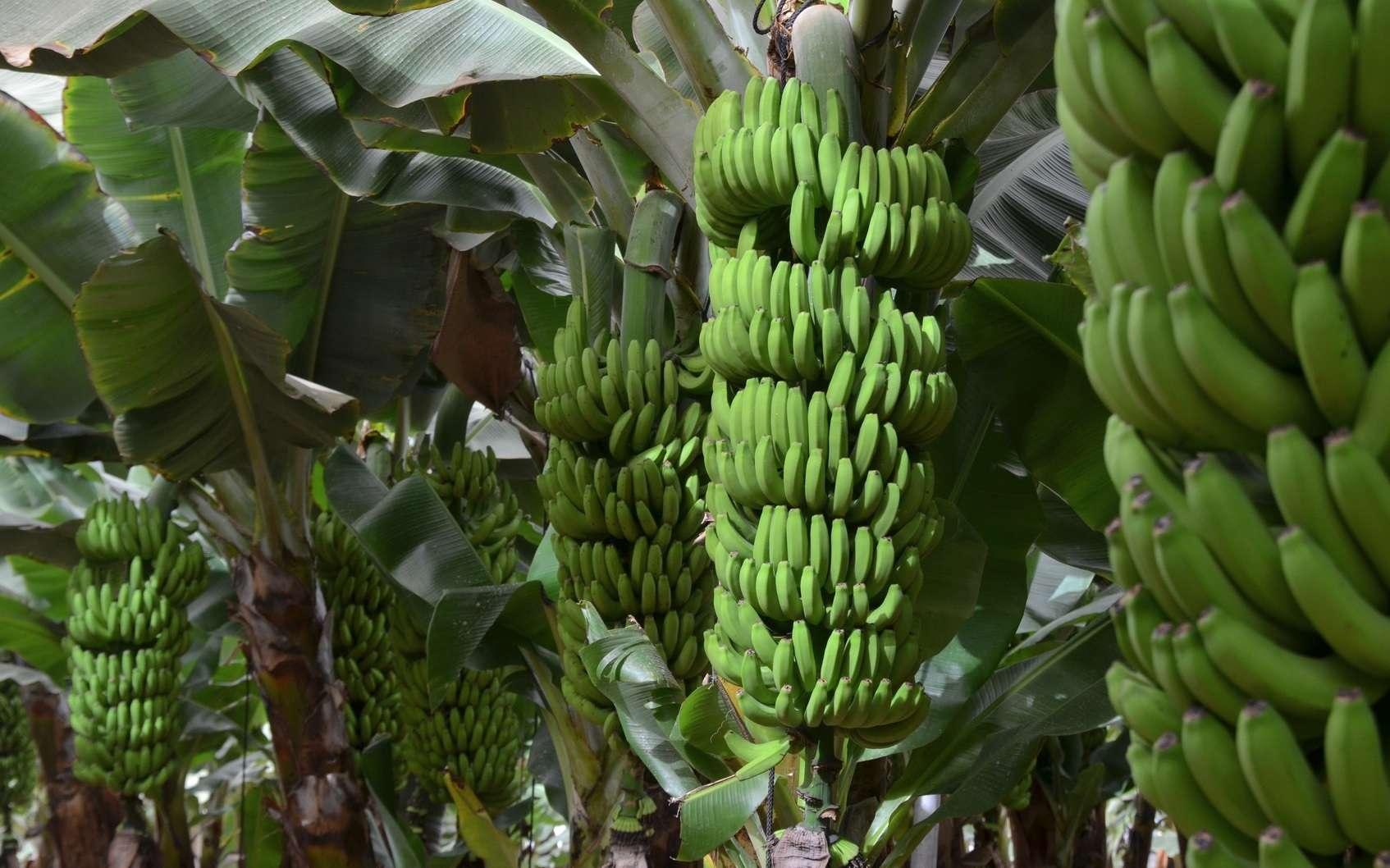 La banane est un fruit naturellement parthénocarpique. © Didier San Martin, Fotolia