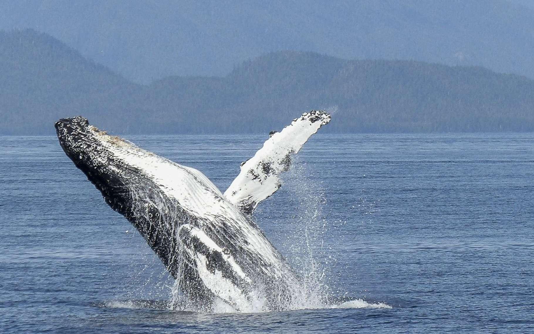 Une baleine à bosse sautant hors de l'eau. Le comportement social de ces grands mammifères est complexe. Le petit reste auprès de sa mère durant une année. Elle aura à le défendre, notamment contre les orques, et pourra alors être aidée par d'autres congénères. © werner22brigitte, Pixabay, DP