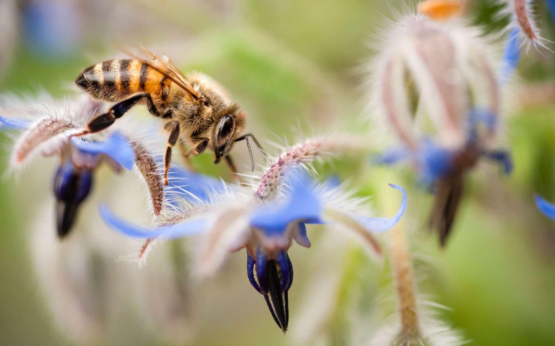 Les abeilles reconnaissent les membres de leur ruche grâce à des molécules présentes sur leur peau. © alessandrozocc