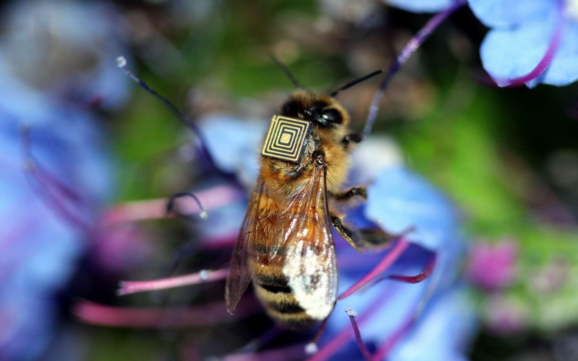 Des milliers d'abeilles butineuses en Australie sont équipées de capteurs minuscules dans le cadre du programme « essaim de détection ». © CSIRO