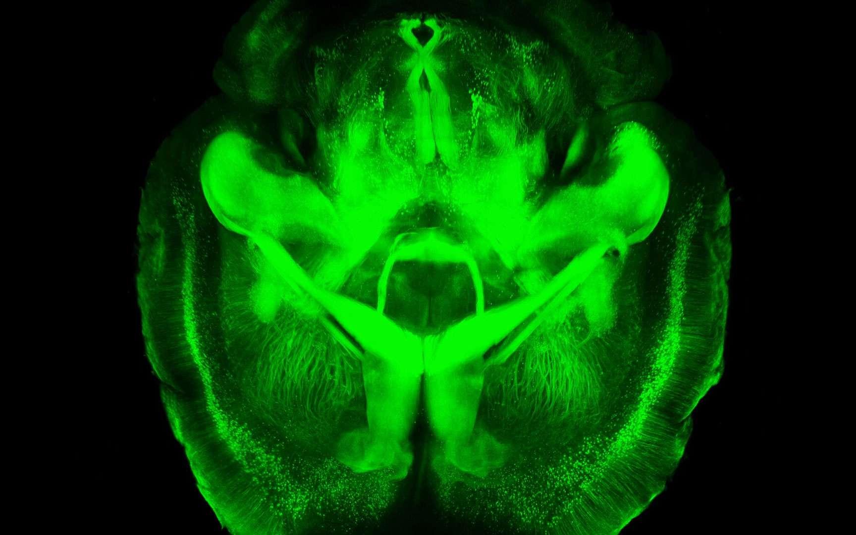 Un cerveau de souris transparent. Des chercheurs de l'université Stanford, aux États-Unis, ont rendu transparent le cerveau d'une souris grâce à la technologie Clarity. Ils l'ont ensuite imprégné d'anticorps fluorescents se fixant sélectivement sur les neurones. On peut ainsi visualiser le réseau neuronal en 3D sans avoir recours à la dissection. © Stanford School of Medicine