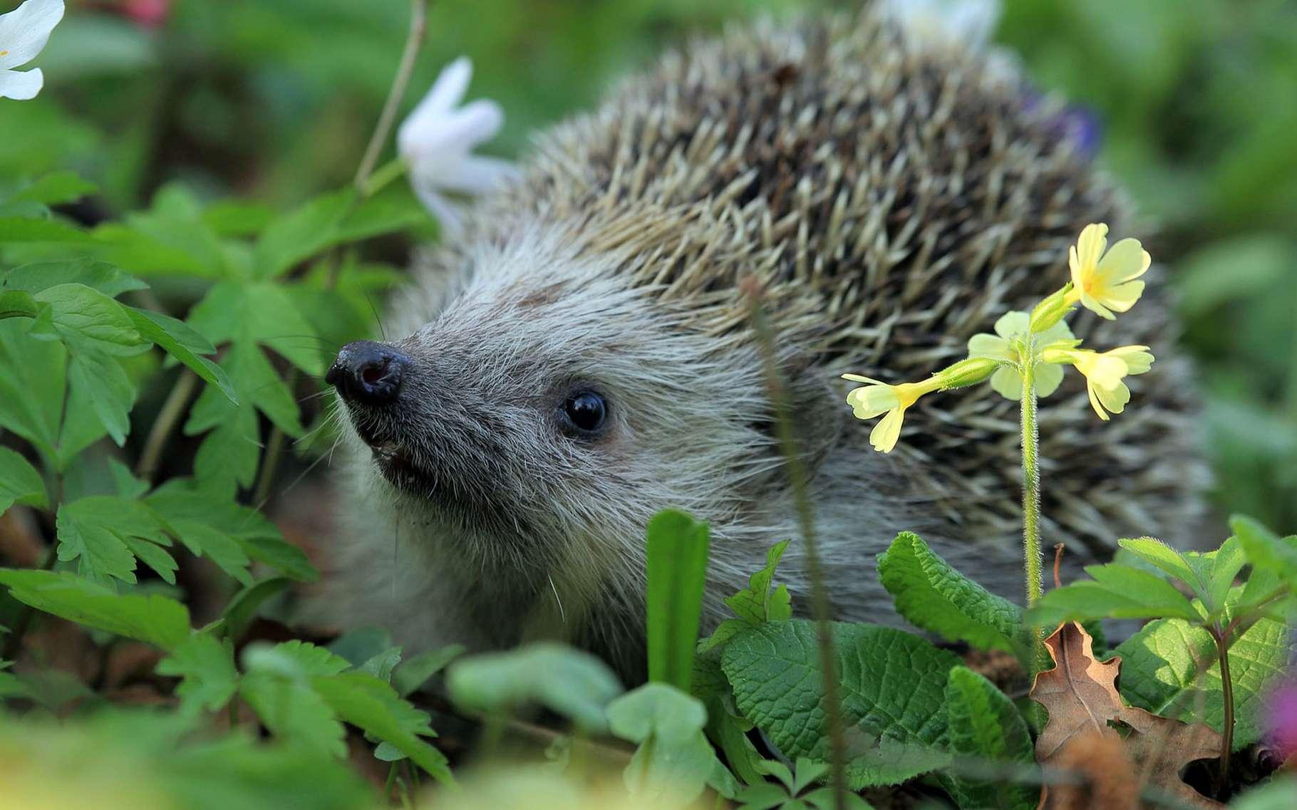 Le hérisson, l'ami du jardinier. © TomaszProszek, Pixabay, DP