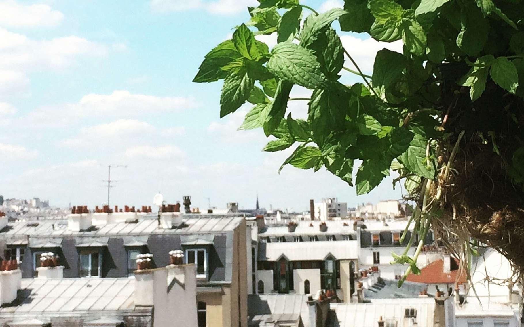 Un plant de menthe a poussé sur un toit de Paris. Cette culture hors-sol, par hydroponie, est une bonne solution pour l'agriculture urbaine. © Aéromate