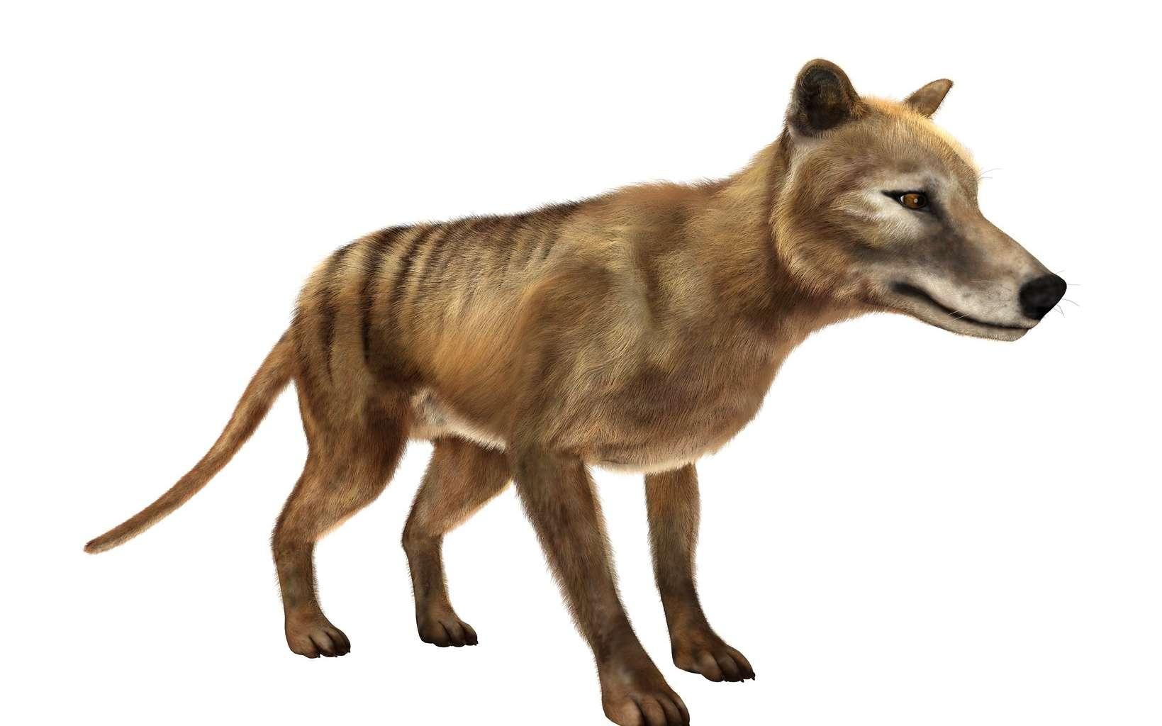 Le tigre de Tasmanie, aussi appelé thylacine, ressemble à un chien et porte des rayures. © photosvac, Fotolia