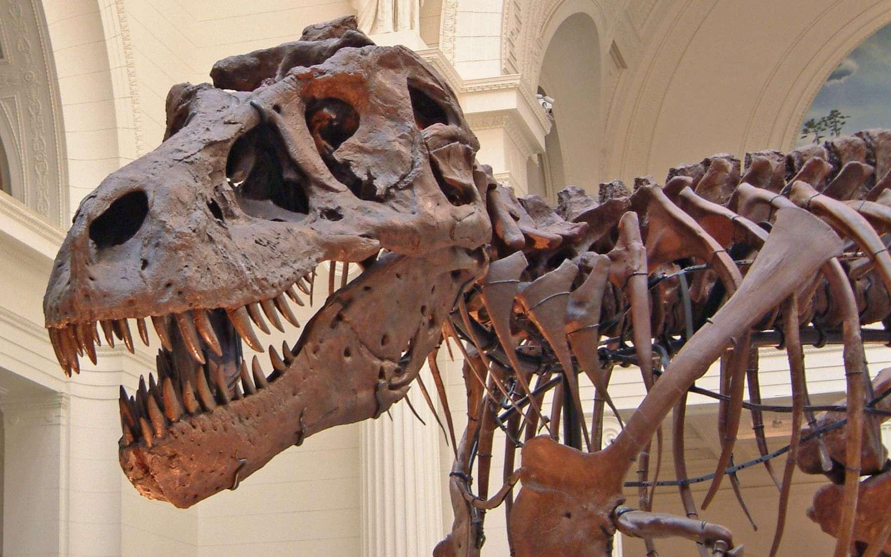 La découverte de Timurlengia euotica, un cousin du T-Rex, permettra d'en savoir plus sur cet impressionnant dinosaure. Ici, un squelette de T-Rex visible au Field Museum of Natural History, à Chicago, aux États-Unis. © Terence Faircloth, Flickr, CC by-nc-nd 2.0