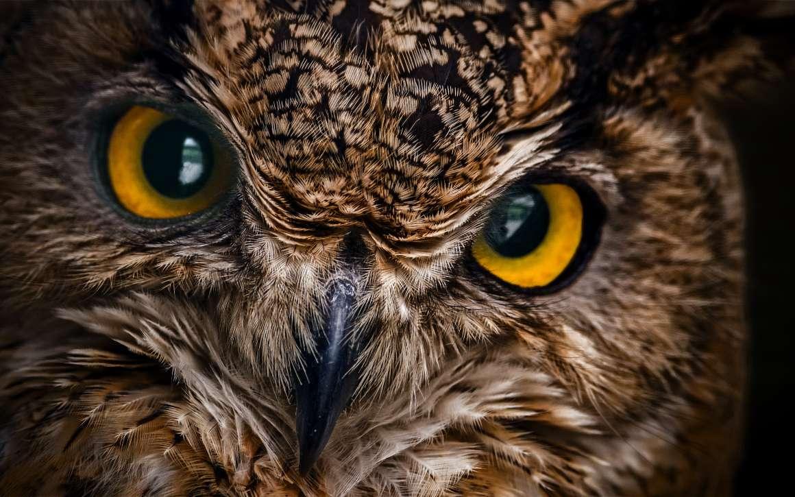 Avec ses grands yeux, le hibou Grand-duc est un excellent chasseur nocturne. © vladk213, Adobe Stock