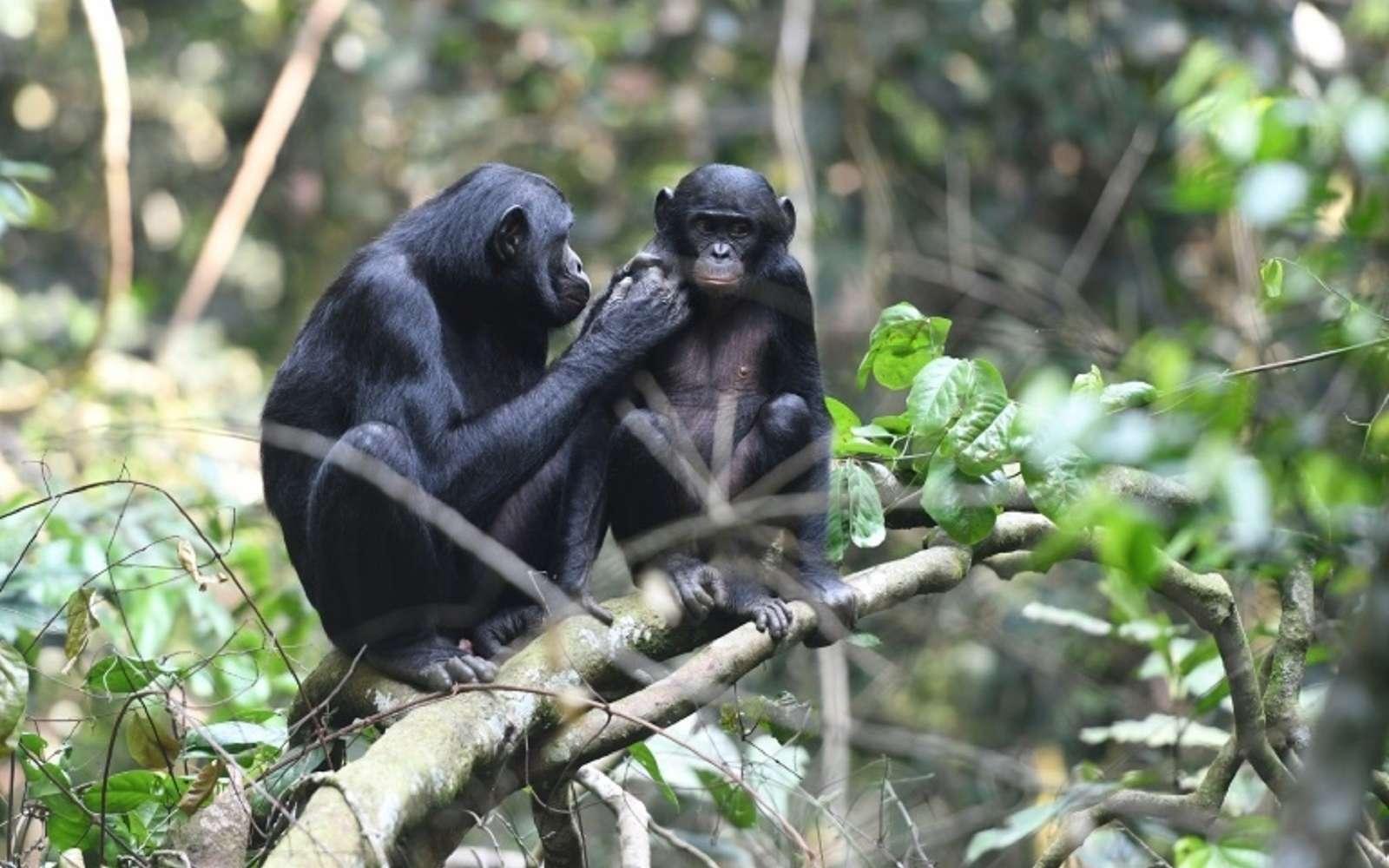 Un jeune bonobo (droite) avec sa mère, dans la réserve de Kokolopori en République démocratique du Congo, le 20 mai 2019. © Martin Surbeck/Max Planck Institute for Evolutionary Anthropology/AFP/Archives