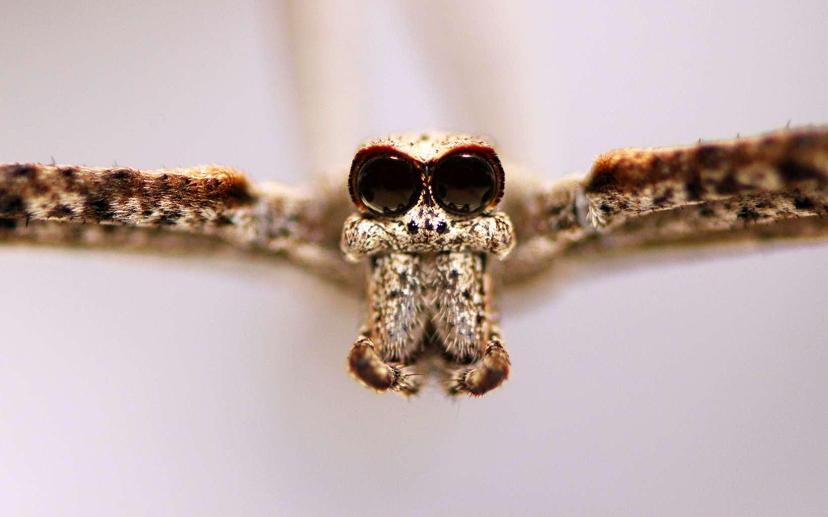 Deinopis spinosa vue de face. Les yeux caractéristiques de cette famille d'arachnides sont particulièrement visibles. © Jay Stafstorm