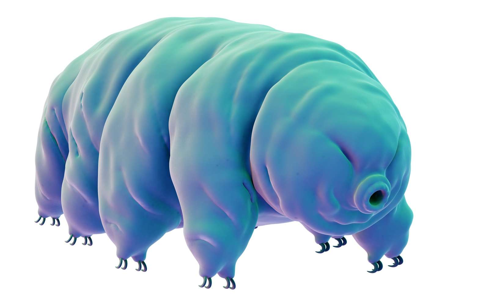 Le tardigrade peut résister à des températures très basses, largement négatives, puis, 20 minutes à peine après avoir été sorti du congélateur, repartir se balader. © Eraxion, Istock.com