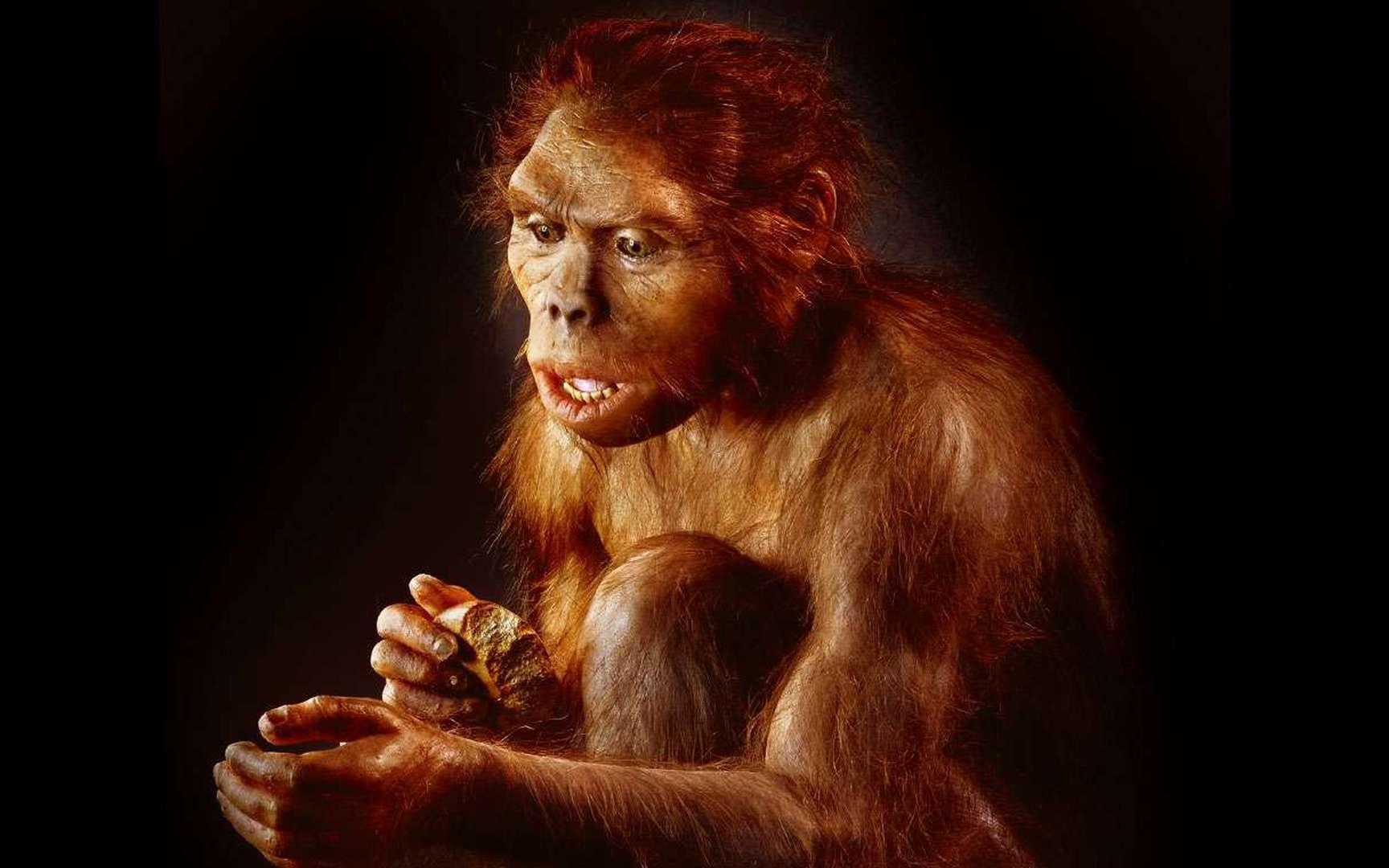 Premier représentant officiel du genre humain, voici Homo habilis, l'« homme habile », ici représenté par une femelle ! Il fut ainsi nommé parce qu'il avait été trouvé non loin d'outils dont on sait aujourd'hui qu'ils ne sont aucunement le propre de l'homme. © Dunod, tous droits réservés