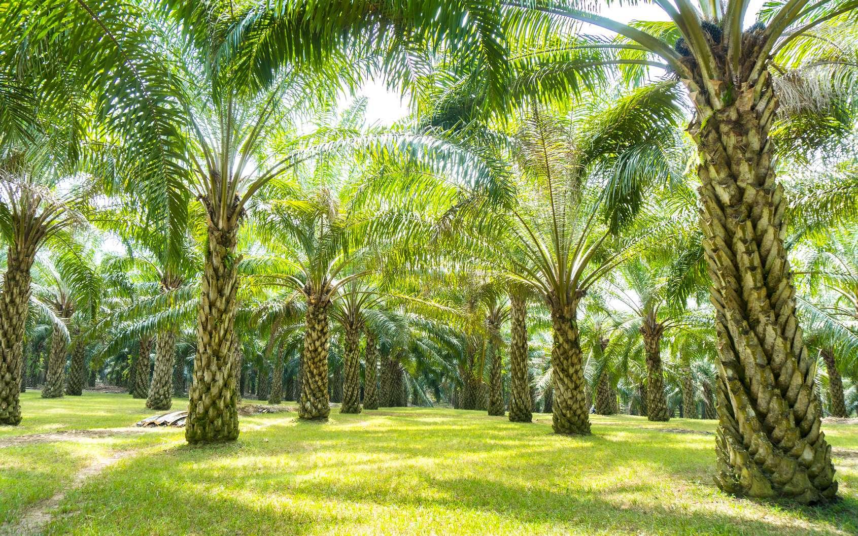 Palmiers à huile. © Saidin Jusoh, Fotolia