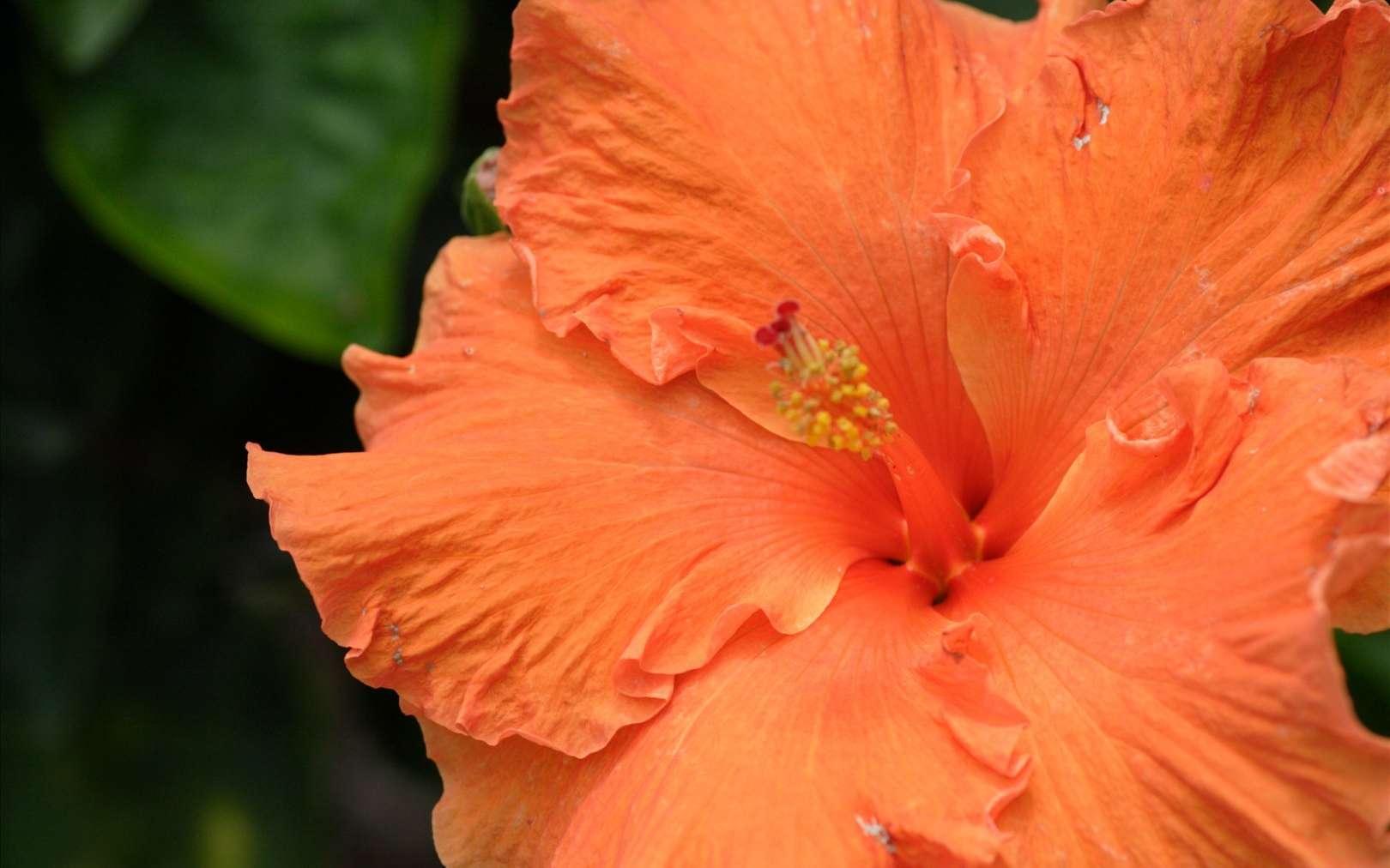 L'hibiscus rose de Chine, arbuste de la famille des Malvacées. © van swearingen, Flickr CC by nc-sa 2.0