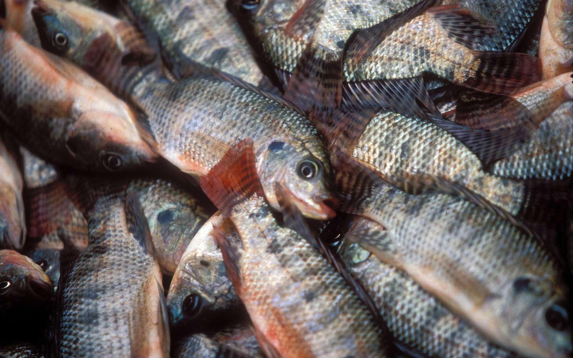 Le tilapia est le deuxième poisson d'élevage au monde. © Dominyk Lever, WorldFish, Flickr