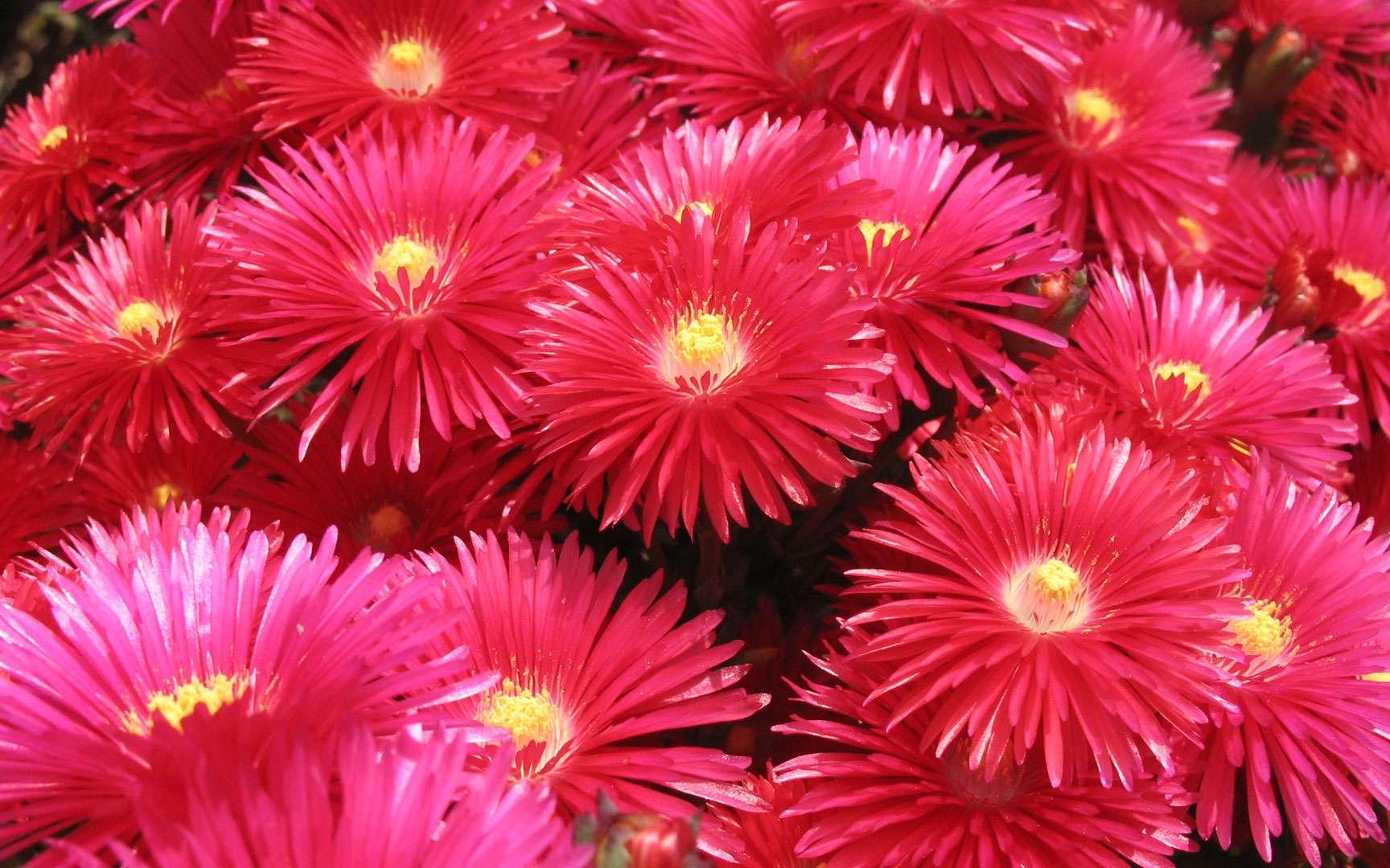 Lampranthus coccineus. Lampranthus coccineus, famille des Aizoacées. Plante succulente sud-africaine en pleine floraison. Cette espèce est fréquemment cultivée dans le sud de la France. © AB, Reproduction et utilisation interdites