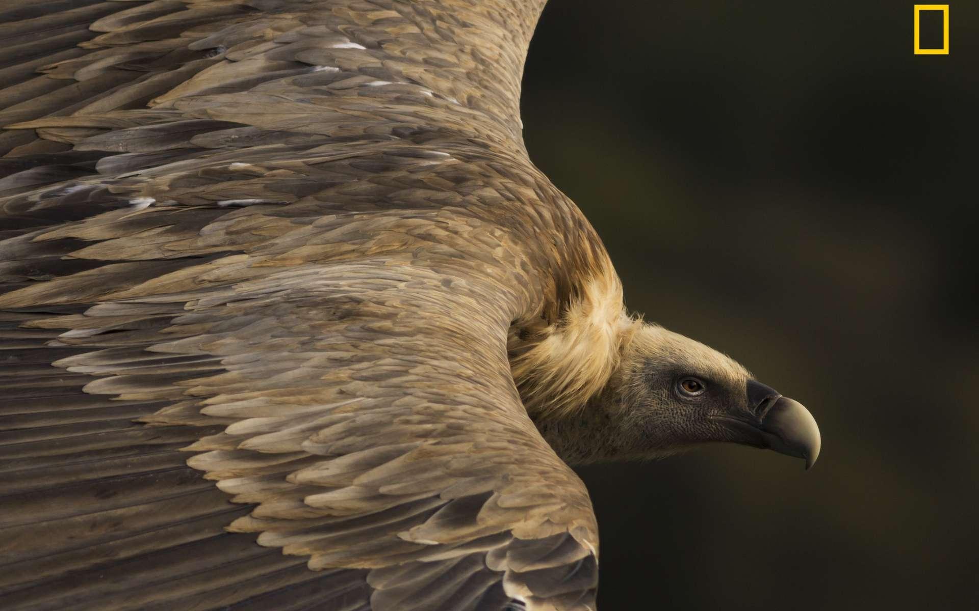Un vautour fauve, gagnant de la catégorie Nature du National Geographic Travel Photo Contest. © Tamara Blazquez Haik, 2019 National Geographic Travel Photo Contest