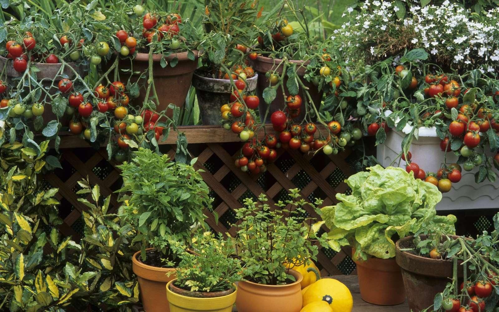 Le bonheur de cultiver des légumes et aromatiques sur un balcon. © PIXATERRA, Adobe Stock