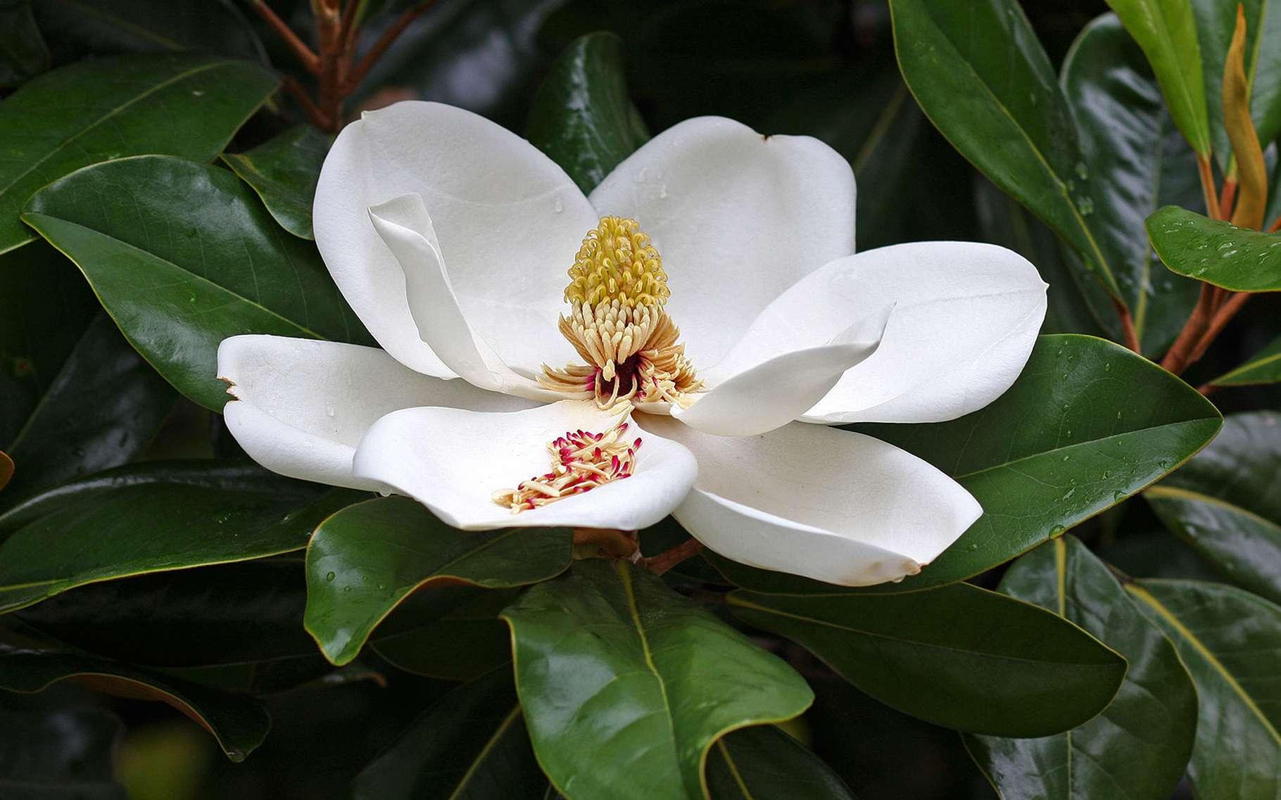 Le magnolia à grandes fleurs appartient à la famille des magnoliacées. © H G M, Flickr CC by nc-nd 2.0