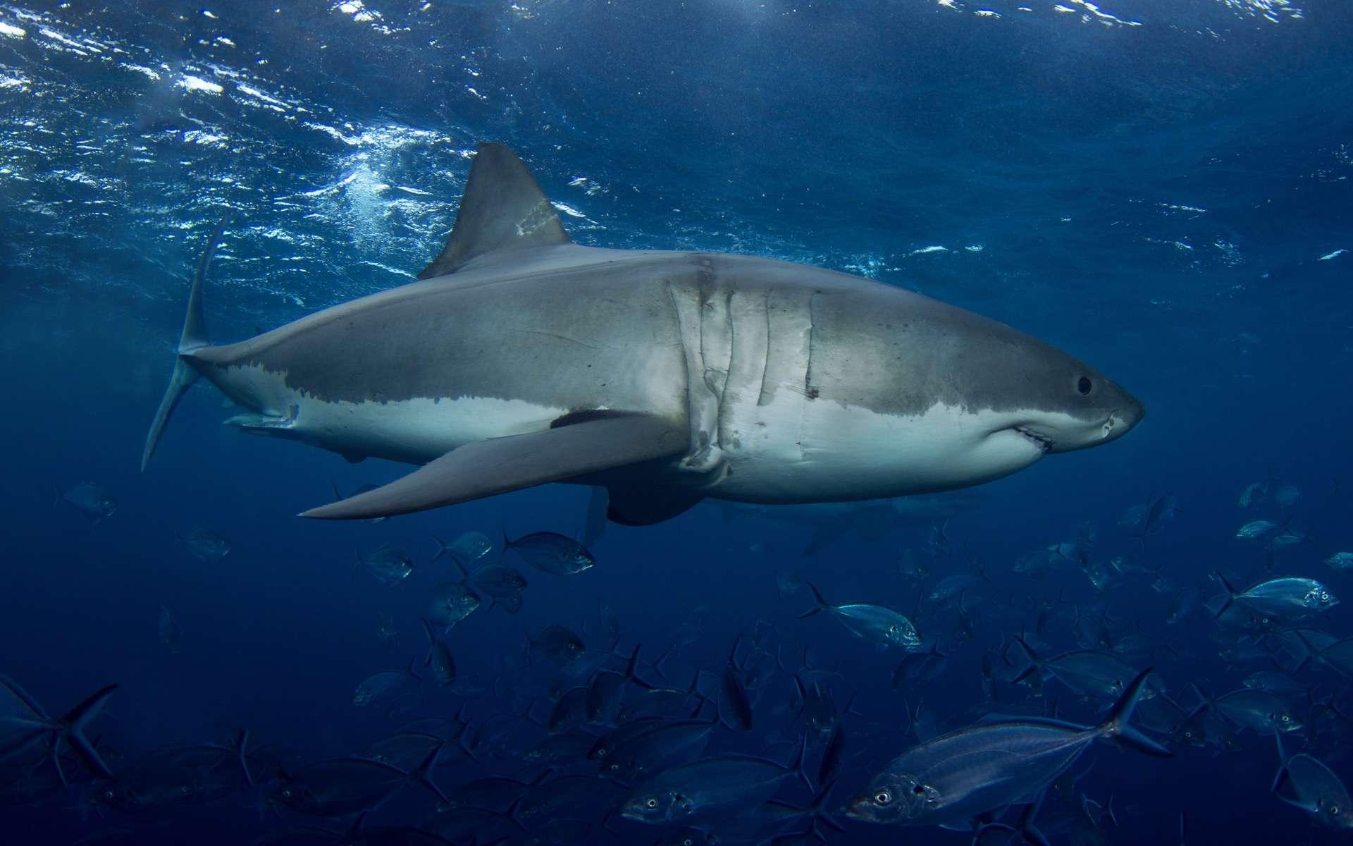 Les requins sont capables d'utiliser le champ magnétique terrestre pour se repérer. © Ryan, Adobe Stock