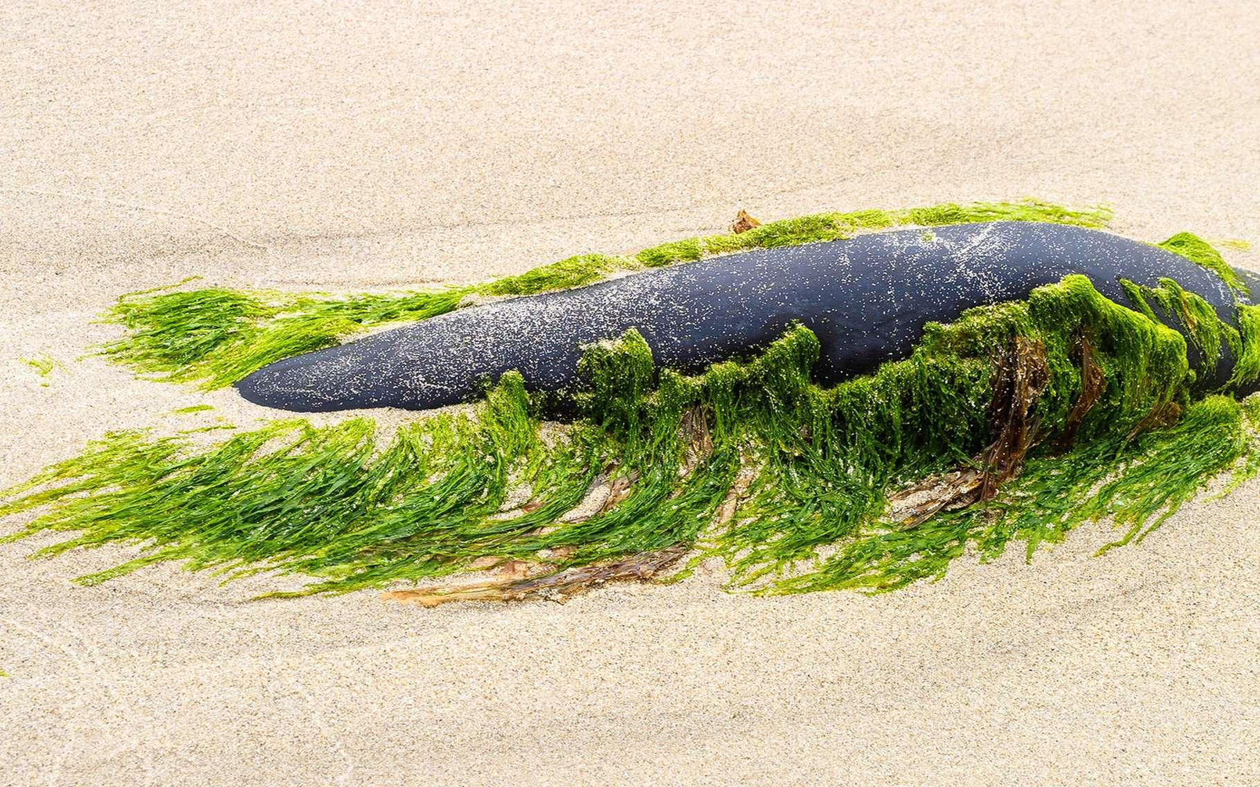 Les algues, comme le goémon, constituent un engrais parfait. © Lars Johansson, Fotolia