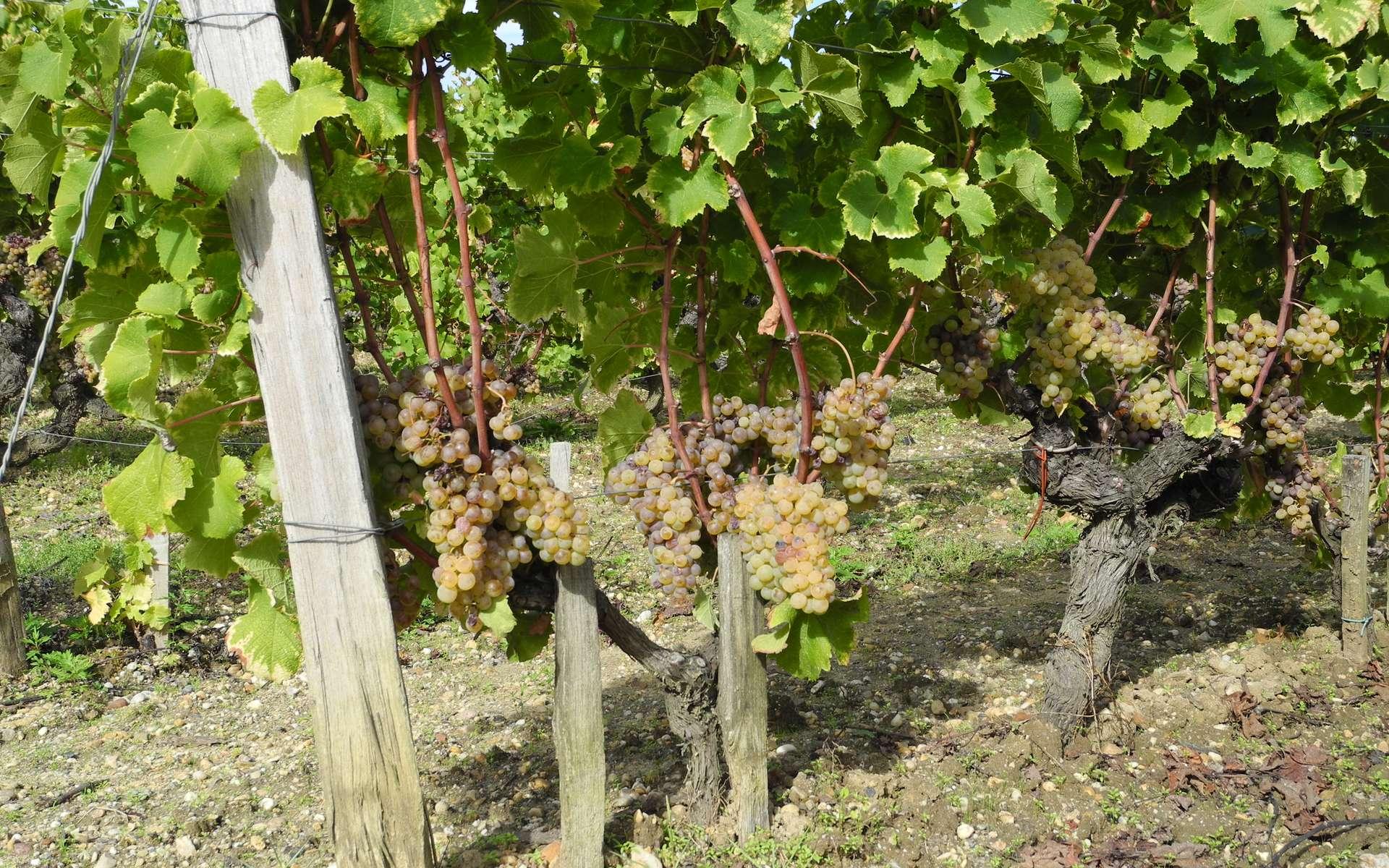 Les tanins que l'on trouve dans le vin proviennent essentiellement des raisins. © Nathalie Mayer
