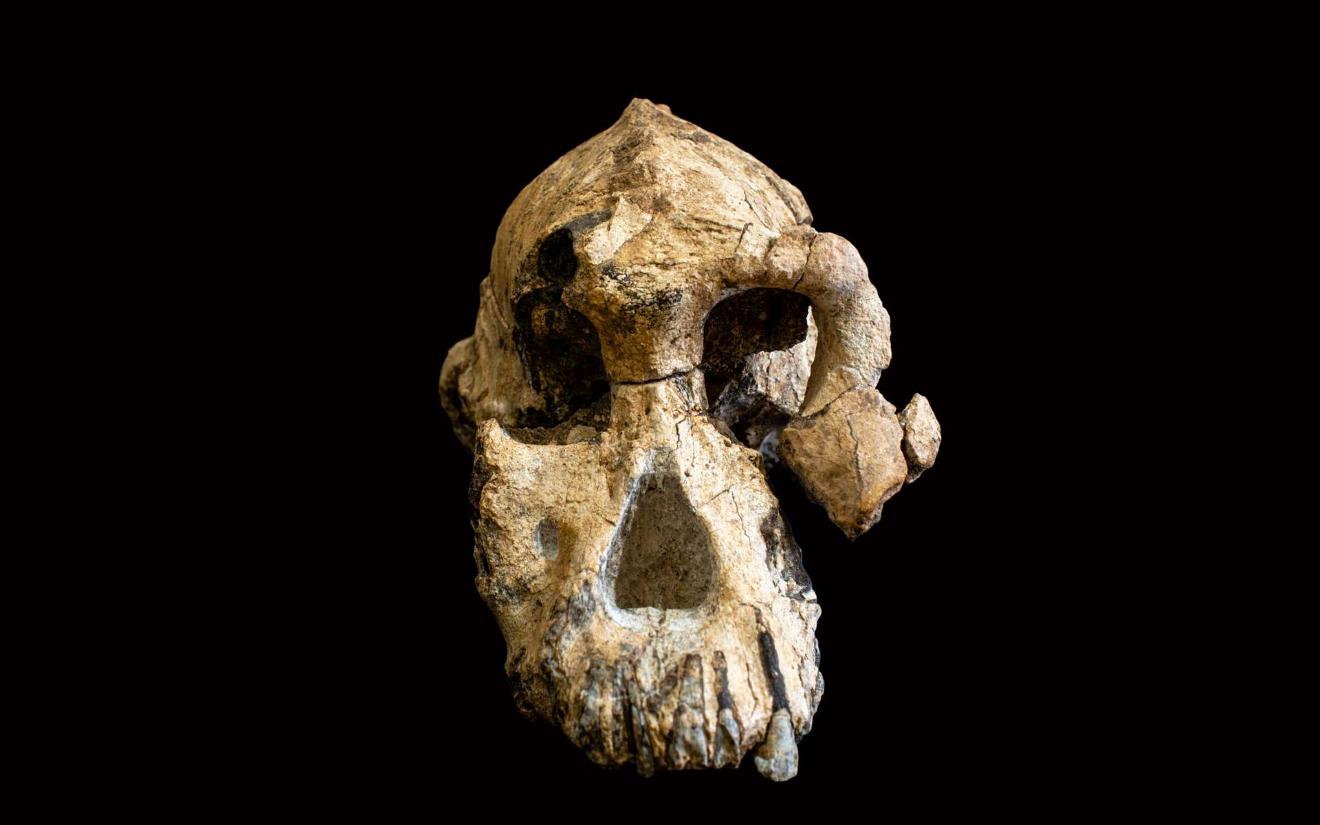Photo fournie par le Museum of Natural history de Cleveland le 28 août 2019 montrant un fragment de crâne d'Australopithèque vieux de 3,8 millions d'années découvert en Éthiopie. © HO - Cleveland Museum of Natural history, AFP