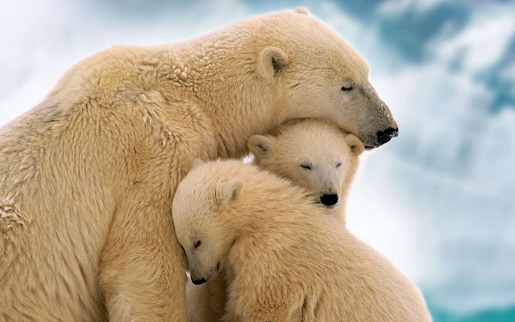 Les oursons blancs, bébés du froid. Les ours polaires ou ours blancs (Ursus maritimus) souffrent aujourd'hui du réchauffement climatique qui réduit la banquise. Le plus souvent, l'ourse polaire a des portées de deux oursons. © myheimu, CC by-nc 2.0