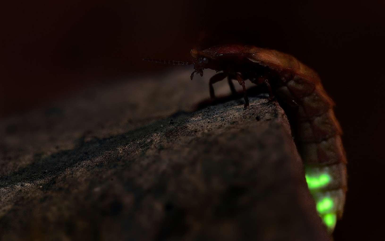 Seule la femelle de Lampyris noctulica émet de la lumière au bout de son abdomen. © phototrip.cz, Fotolia
