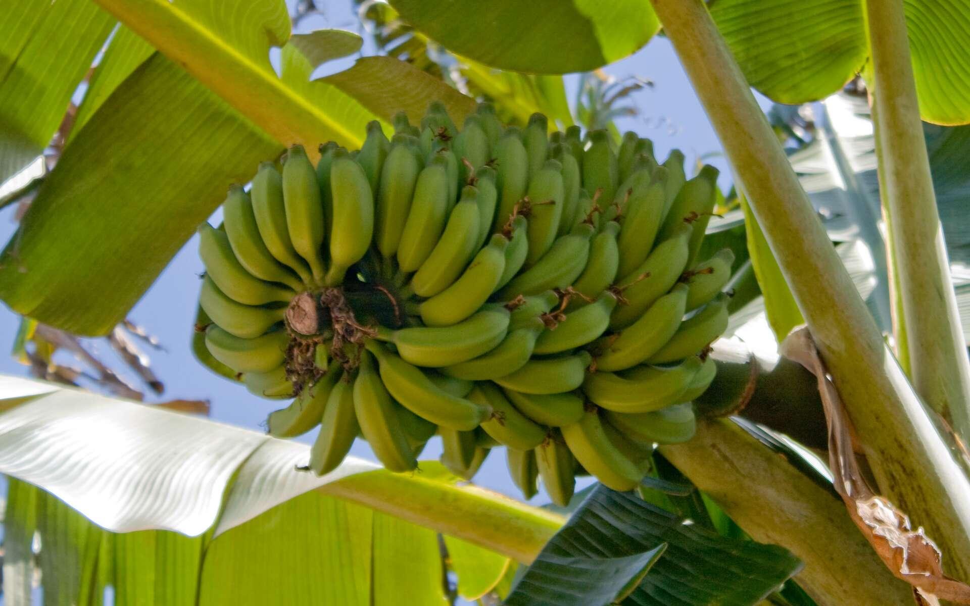 La banane, le thé ou le houblon ont tous un génome modifié par une bactérie. © Christopher Rose, Flickr