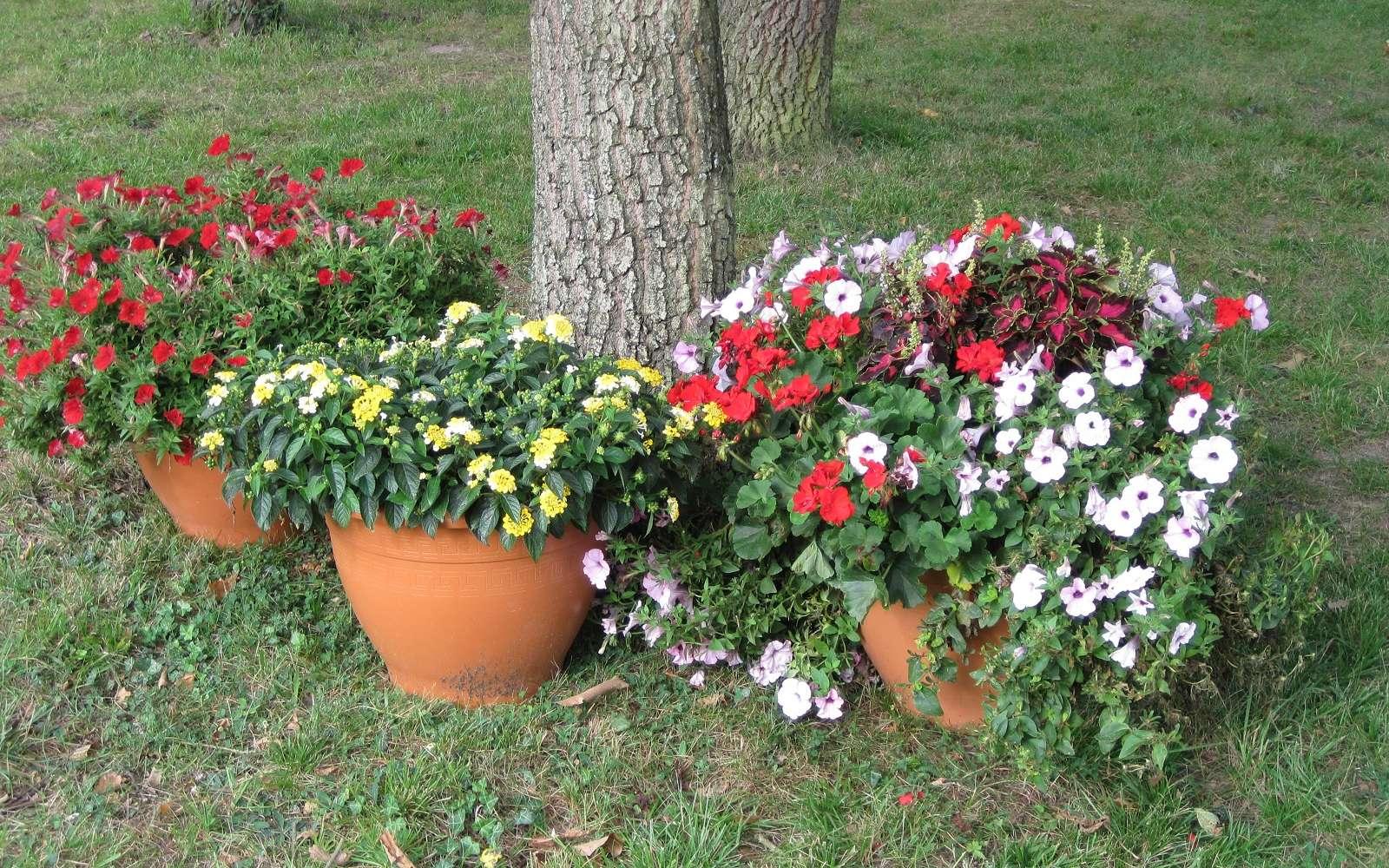 Potées estivales plantées d'annuelles avec des verveines, des géraniums et des pétunias. © S.Chaillot