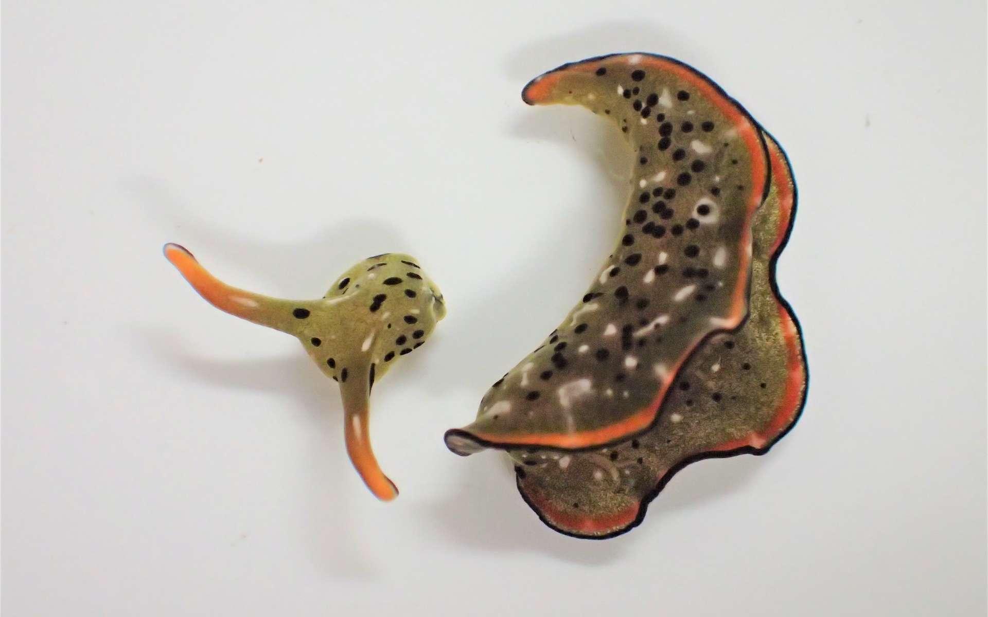 La limace de mer Elysia marginata, un jour après l'autotomie de son corps. © Sayaka Mitoh