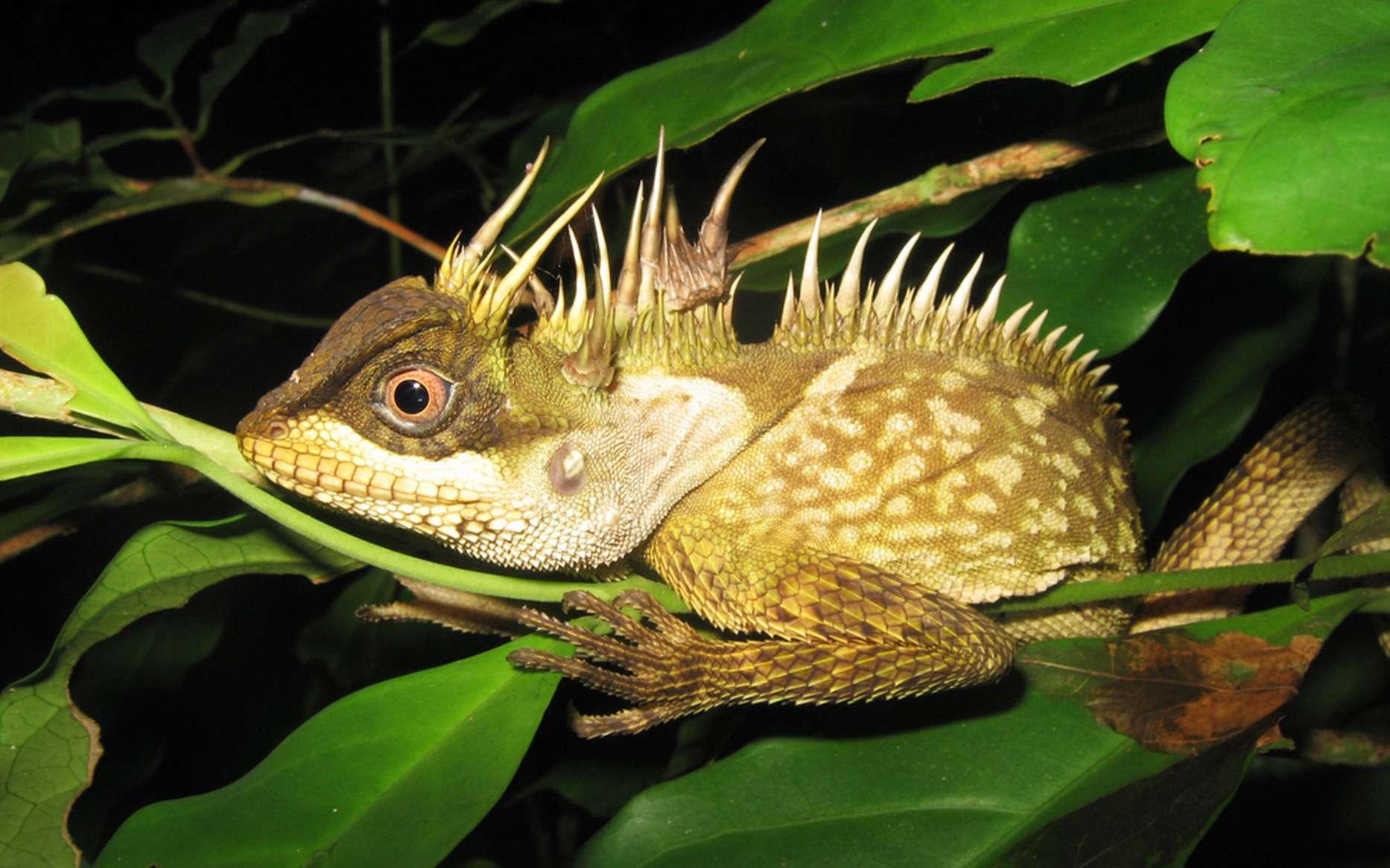 115 nouvelles espèces ont été découvertes dans le Grand Mékong. Ici, une nouvelle espèce de lézards baptisée Acanthosaura phuketensis, caractérisée par une crête d'épines, découverte sur l'île de Phuket, en Thaïlande. © WWF, Montri Sumontha