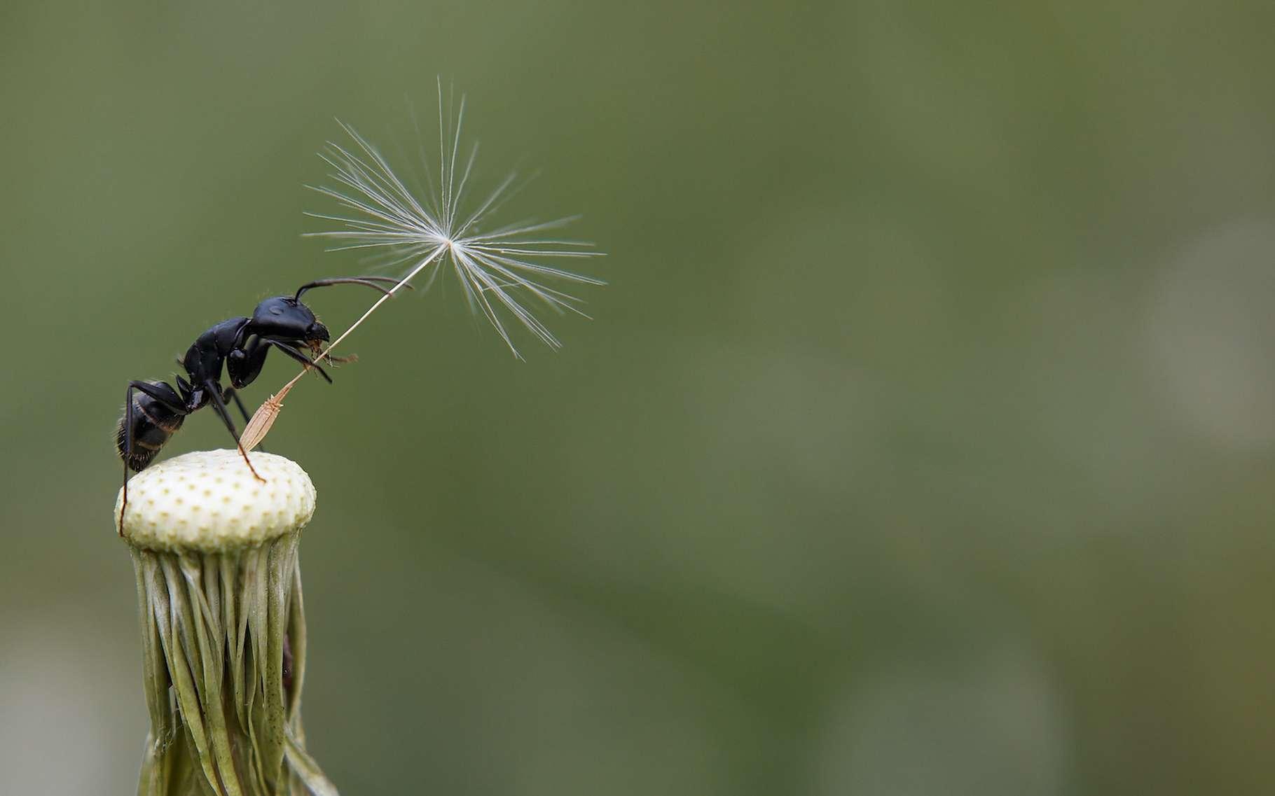 Des chercheurs américains montrent aujourd'hui que les fourmis dispersent des graines de plantes qu'elles ont au préalable nettoyées de certains de leurs agents pathogènes. © Serg Zastavkin, Adobe Stock