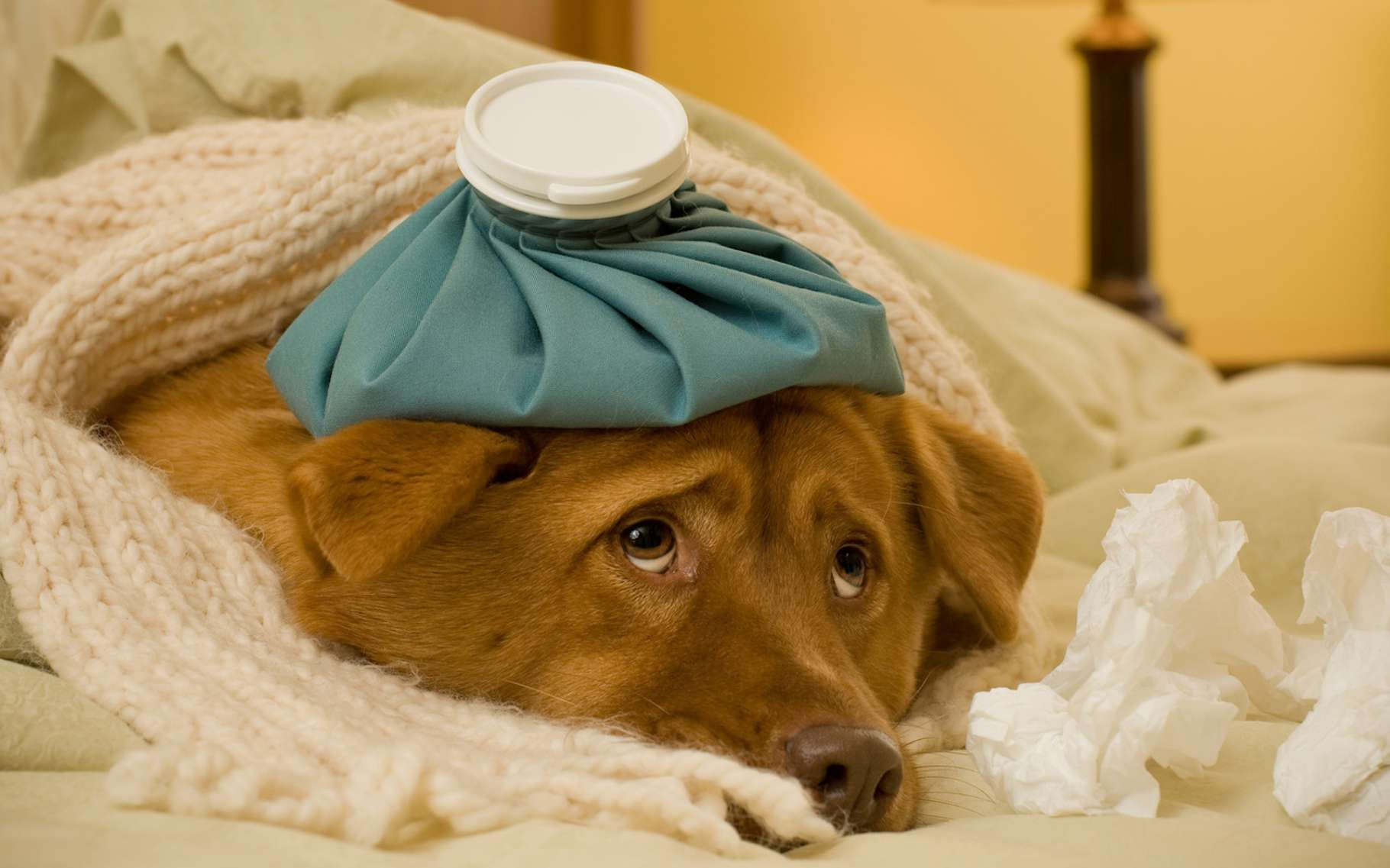 Chez des chiens vivant en Chine, les chercheurs ont découvert une diversité de virus de la grippe qui les inquiète. Elle pourrait en effet être le point de départ d'une future pandémie humaine. © Michael Pettigrew, Fotolia