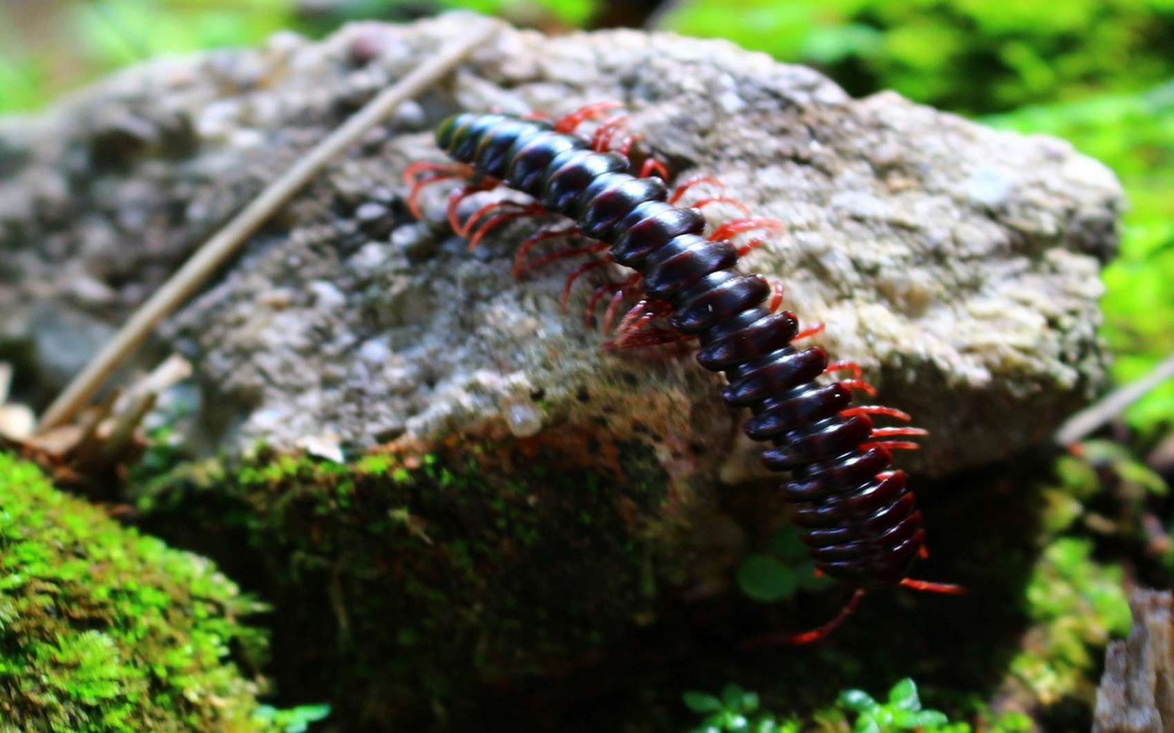 Les piqûres de scolopendres ne sont pas mortelles, mais cet animal possède beaucoup de glandes toxiques. © Pxhere