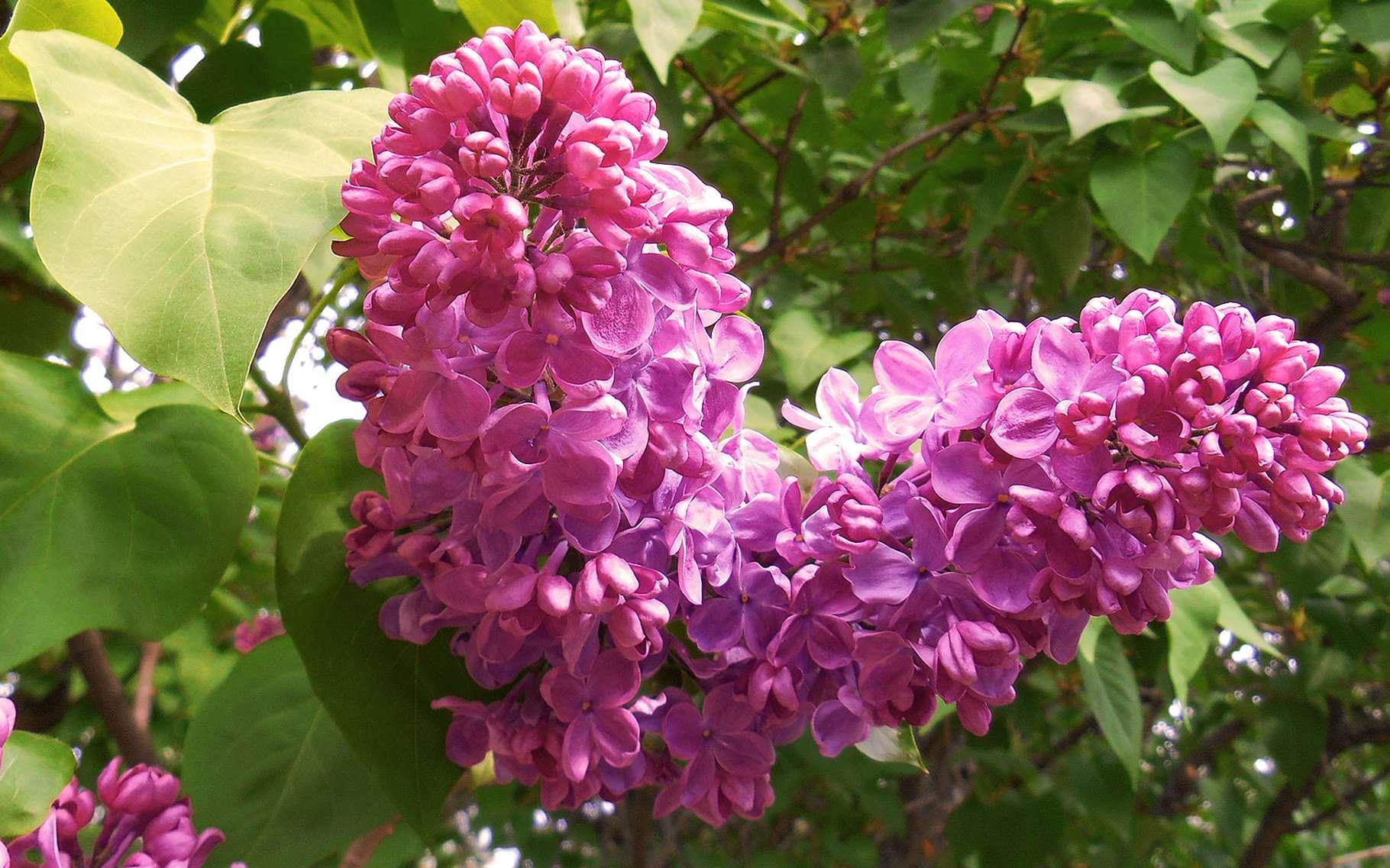 Le lilas commun peut aller jusqu'à 7 ou 8 mètres de hauteur. © Trish Steel-geograph-CC by sa 2.0