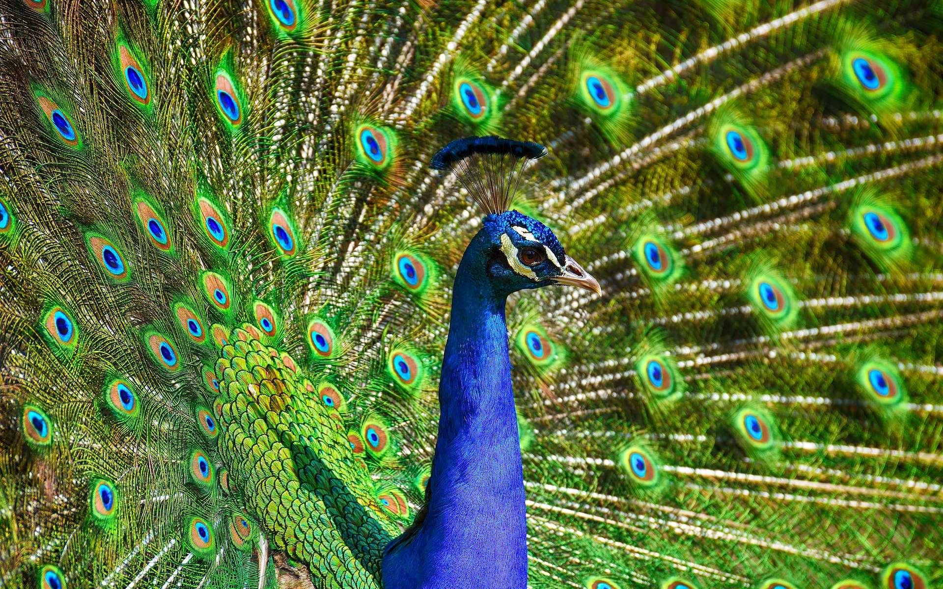 L'étonnante palette de couleurs dans la queue du paon. © Allanlau2000, Pixabay, DP