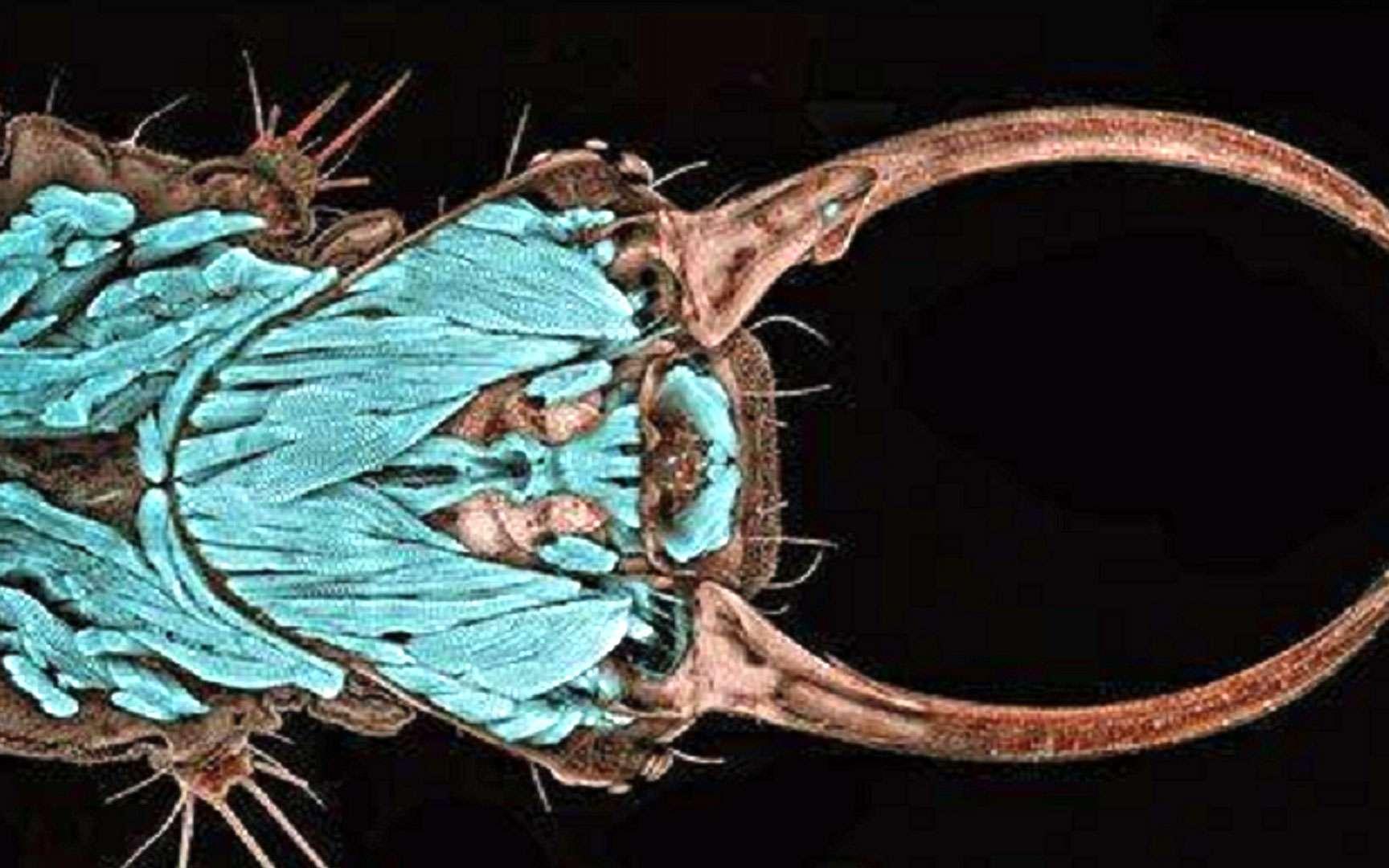 Portrait d'une larve de chrysope. Dr. Igor Siwanowicz, Institut Max Planck de Neurobiologie, Martinsried, Allemagne Portrait d'une larve de chrysope (Chrysopa sp.). Les chrysopes sont des insectes de l'ordre des Neuroptères. Les larves sont particulièrement appréciées en verger puisqu'elles sont prédatrices et se nourrissent notamment d'aphides (pucerons). L'assemblage de leurs mandibules et maxilles, bien visible sur la photo, forme un croc suceur qui permet d'aspirer les liquides corporels de leurs proies. Microscope confocal. Grossissement 20x.
