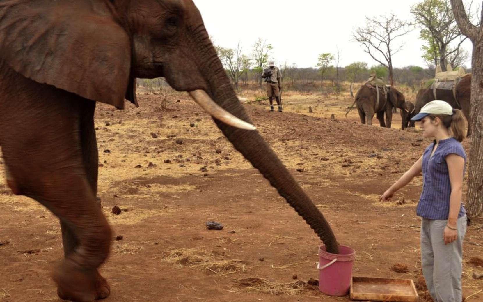 L'éléphant des savanes, Loxodonta africana, est capable d'interpréter le geste de l'Homme : si l'on pointe le doigt vers une cible, l'éléphant la regarde. © Smet et Byrne, Current Biology