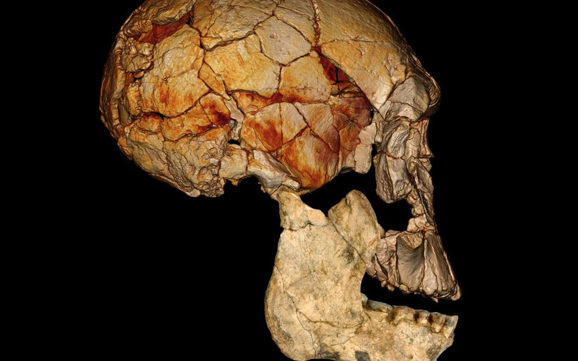 Représentation du crâne KNM-ER 1.470, découvert à Koobi Fora au Kenya en 1972, à laquelle a été associée la mâchoire KNM-ER 60.000. L'image du crâne a été obtenue grâce à un CT-scan. La photographie de la mâchoire correspond à une reconstitution. © Fred Spoor