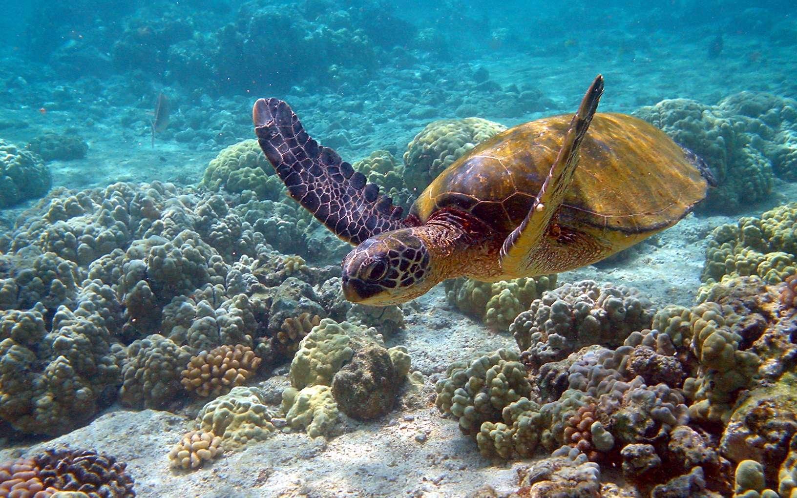 La tortue verte a une fonction vitale dans la faune marine. Elle contrôle l'expansion des algues dans les récifs coralliens. © Brocken Inaglory, GNU 1.2