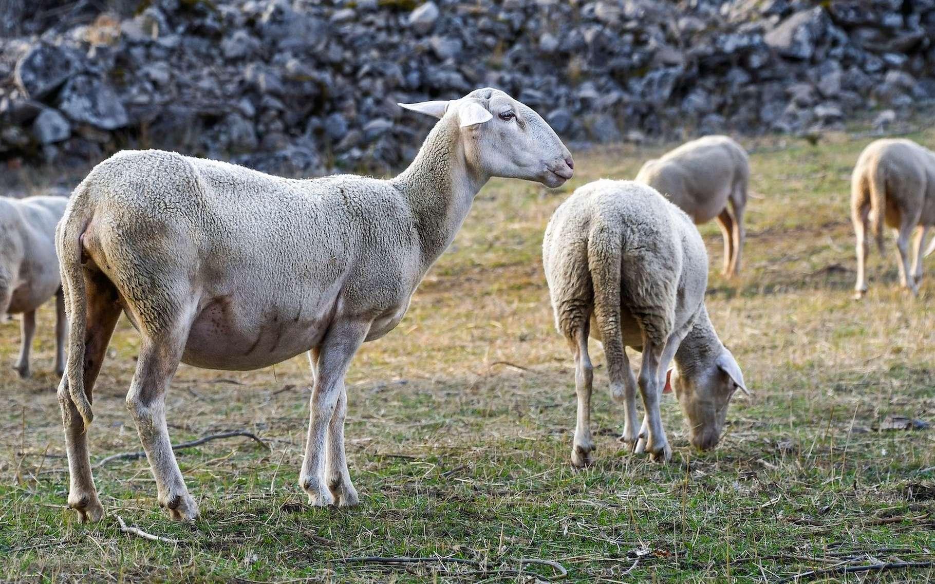 C'est en examinant sa queue que l'on peut distinguer, sans risque d'erreur, une brebis d'une chèvre. Queue tombante pour une brebis et relevée pour une chèvre. © christels, Pixabay License
