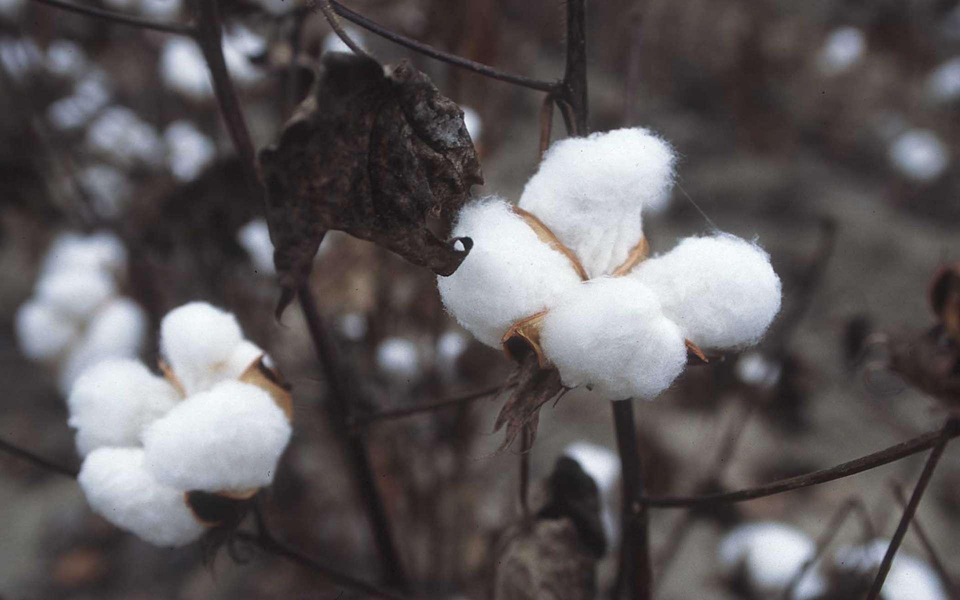 Fleurs de coton prêtes pour la récolte. La culture intensive du coton réclame beaucoup d'eau et de pesticides. La culture biologique se veut plus respectueuse de l'environnement et des travailleurs du coton. © United States Department of Agriculture, Wikimedia Commons, DP