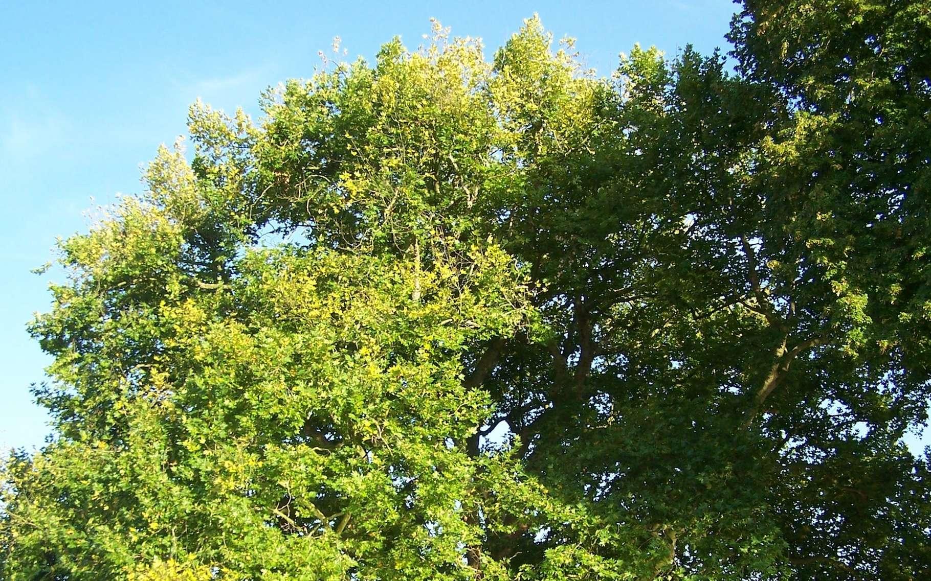 L'arbre de Diane que nous propose ici de découvrir la chimie n'a rien à voir avec cet arbre remarquable qui se dresse dans un parc des Yvelines. © Henrysalome, Wikipedia, CC by-SA 3.0
