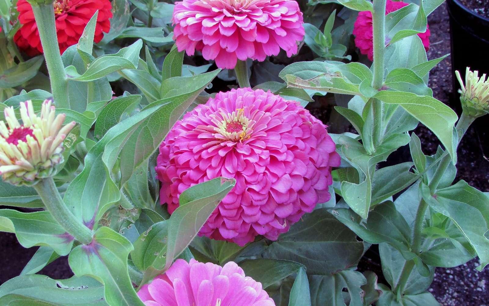 Osez des touches de couleurs vives avec les zinnias. © Don McCulley, Domaine public
