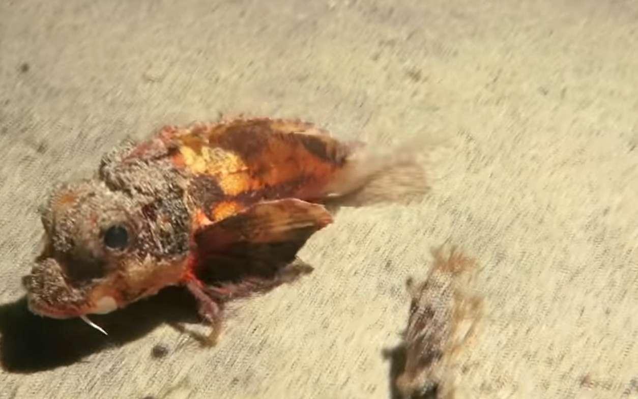 Le poisson qui marche, filmé en Indonésie, cherche sa nourriture sur le fond sableux. Deux rayons de ses nageoires pectorales lui servent à dégager des morceaux de nourriture ou des proies enfouies, et peut-être à avancer. © Éméric Benhalassa, National Geographic, YouTube
