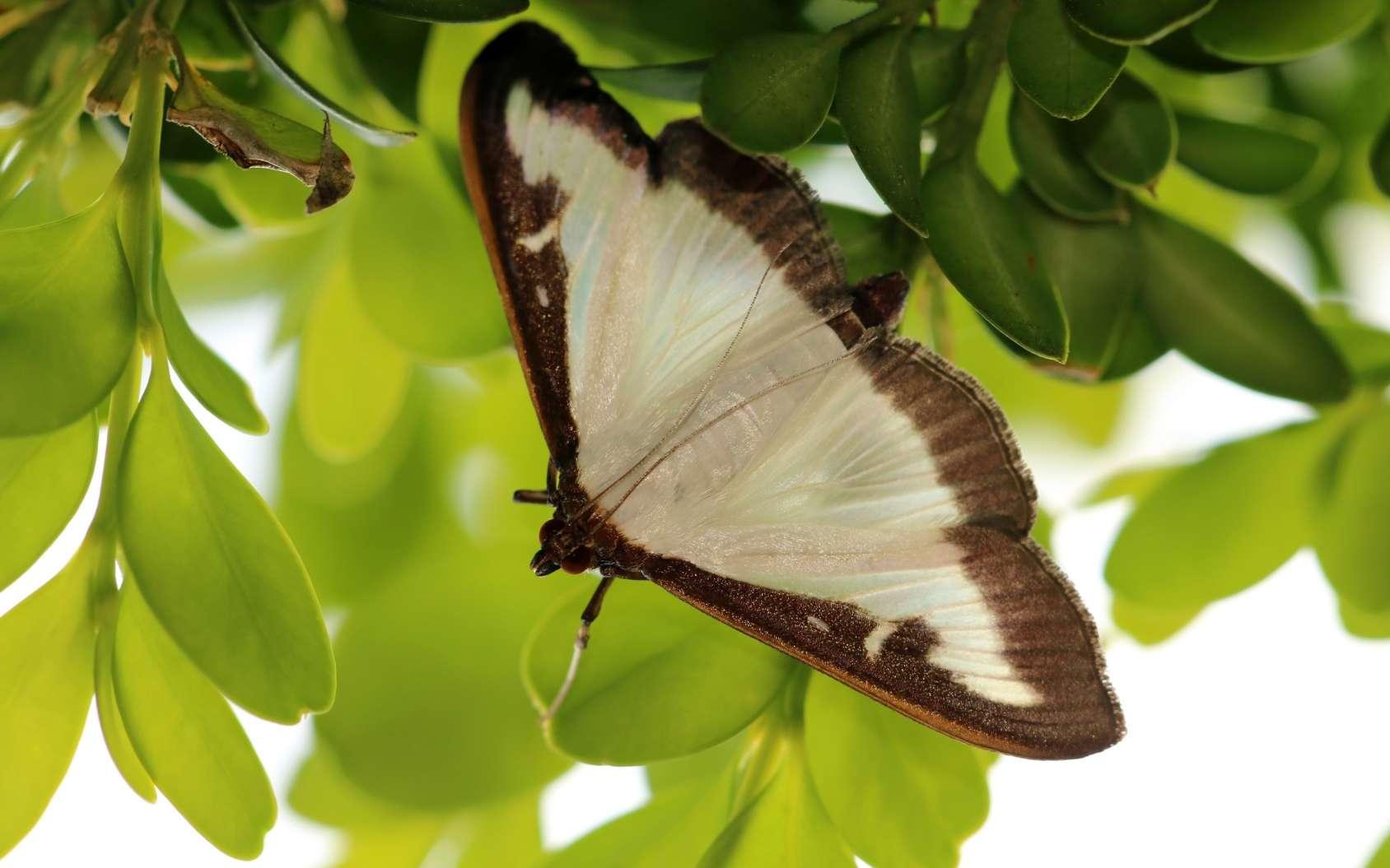 La pyrale du buis est un bien joli papillon mais elle fait des ravages dans les buis. © Eileen Kumpf, Fotolia