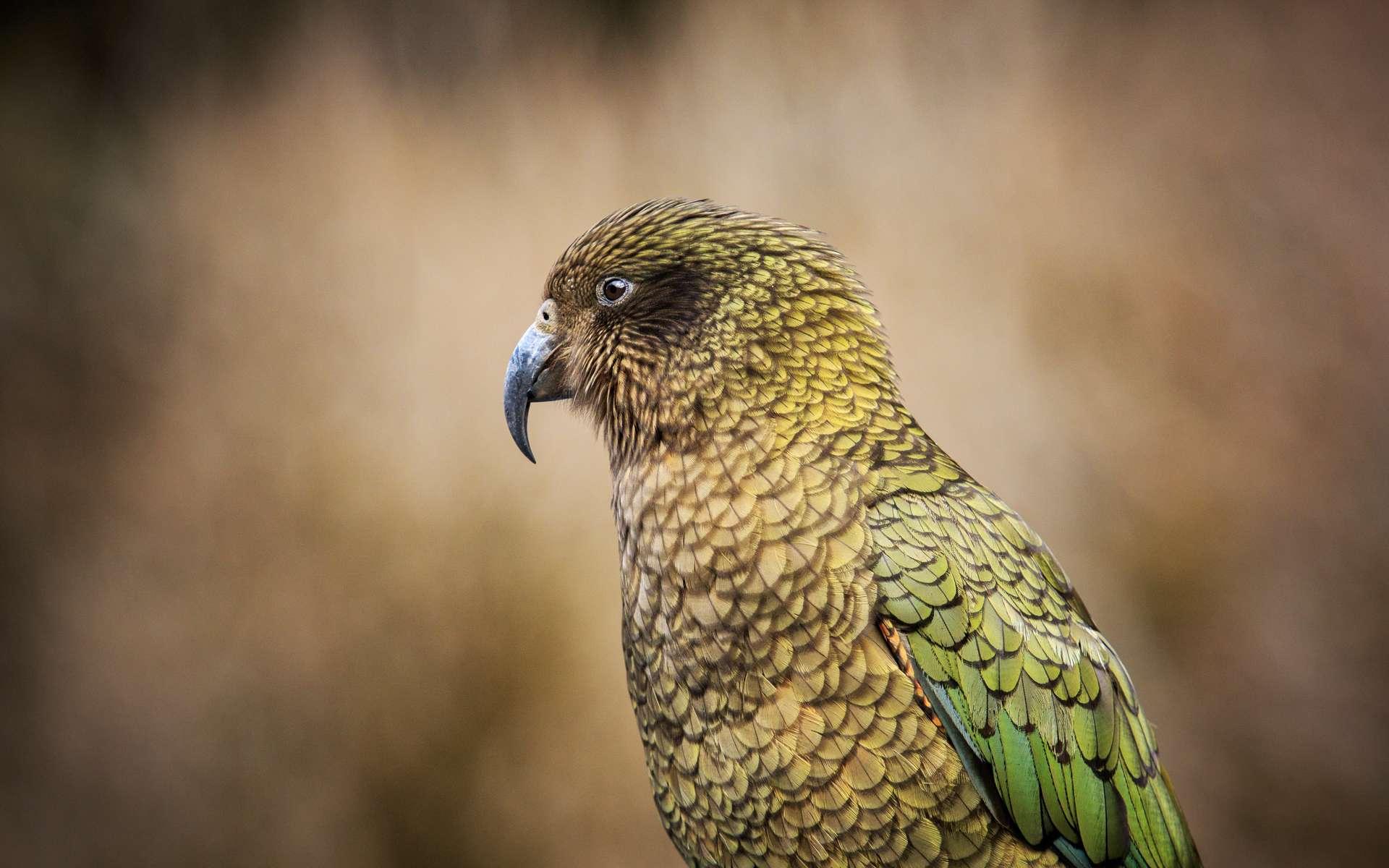 Nestor notabilis est une espèce de perroquet endémique de Nouvelle-Zélande. © Stockphoto mania, Adobe Stock