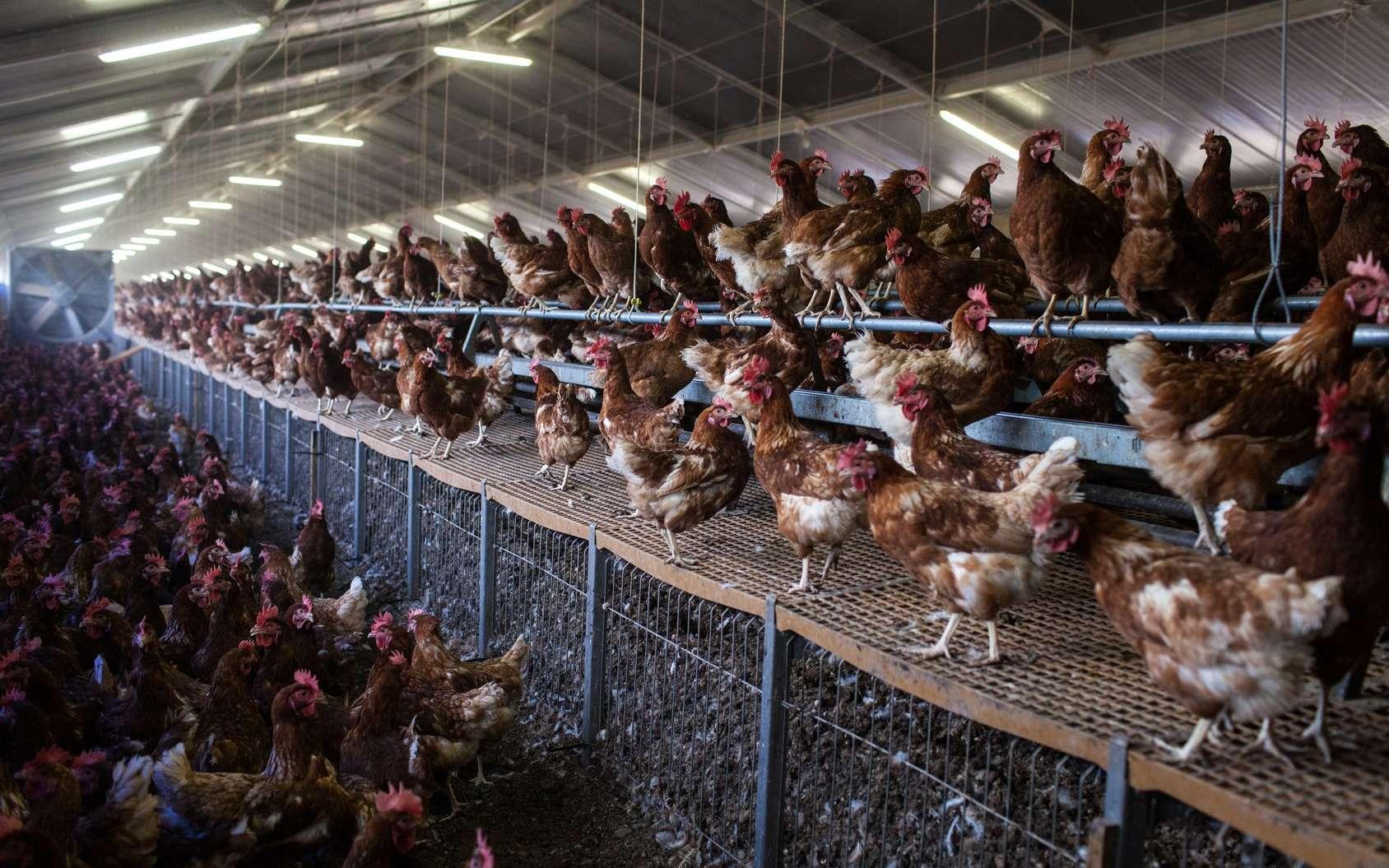 L'OMS demande une réduction des antibiotiques en ce qui concerne l'alimentation animale. Les élevages intensifs favorisent la transmission des infections, et donc l'usage des traitements antibiotiques. © phb.me, Fotolia