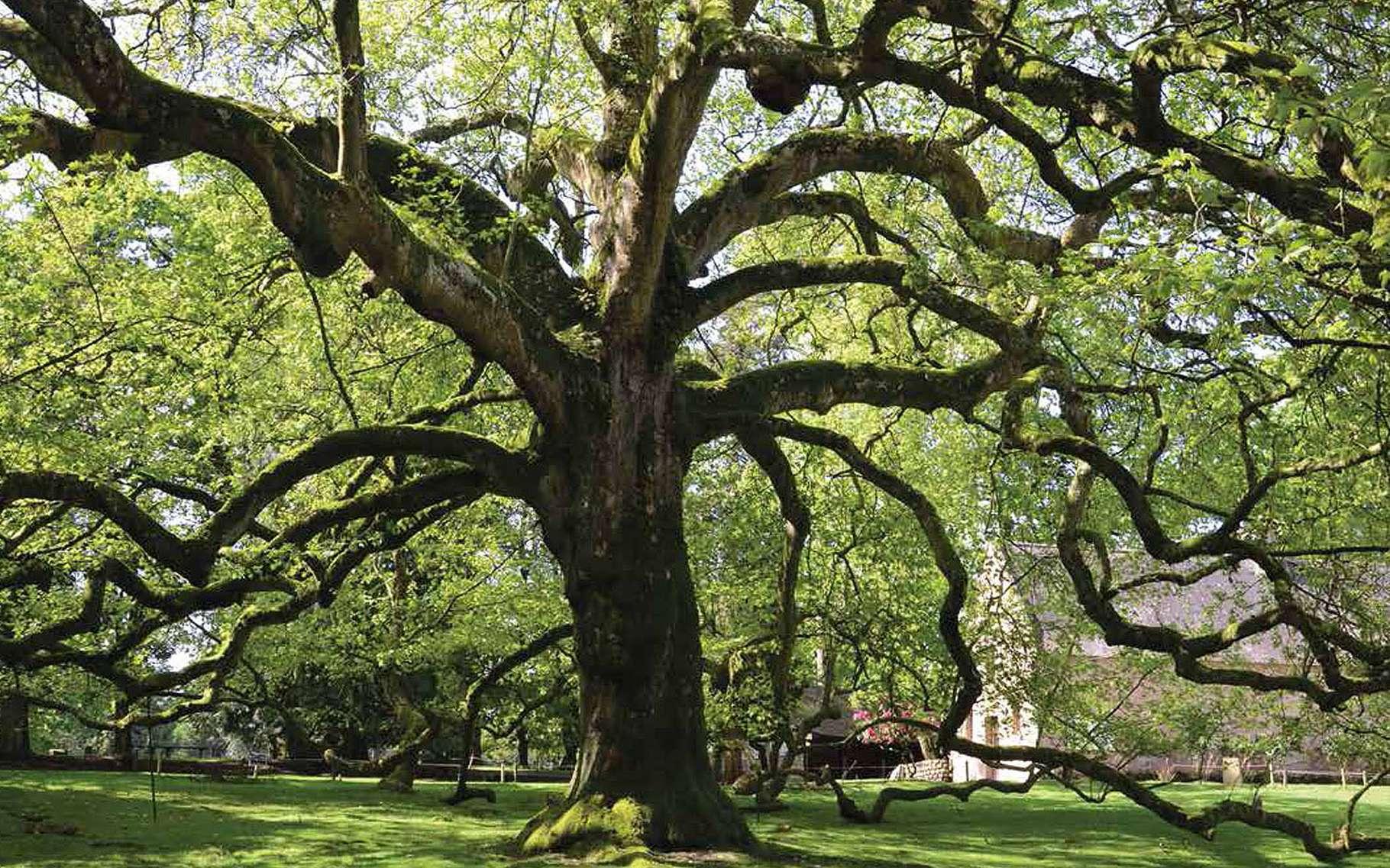 Le parc animalier de Branféré, situé dans la partie est du Morbihan (sur la commune de Le Guerno), accueille chaque année de nombreux visiteurs. Les enfants et les plus grands sont émerveillés par les kangourous et les antilopes en liberté, et par le fantastique spectacle consacré aux oiseaux du monde. Mais il ne faut surtout pas négliger de rendre visite à l'arbre exceptionnel qui se dresse à proximité de l'espace de restauration. Il s'agit d'un platane majestueux, âgé de plus de 200 ans, dont les branches redescendent vers le sol, au point de le voir qualifier d'arbre pleureur.Le tronc de ce colosse mesure 5 mètres de circonférence et ses branches s'étendent sur 45 mètres. La cime culmine à 30 mètres. Ce « platane pleureur » est peut-être le seul nommé ainsi. C'est véritablement une attraction à lui tout seul, des végétaux ont élu domicile sur ses branches, il n'est pas rare de voir les oies se nicher ou les paons escalader ce platane d'Orient (Platanus orientalis), une espèce peu répandue et, réservée aux jardins d'ornement.© Georges Feterman, Futura